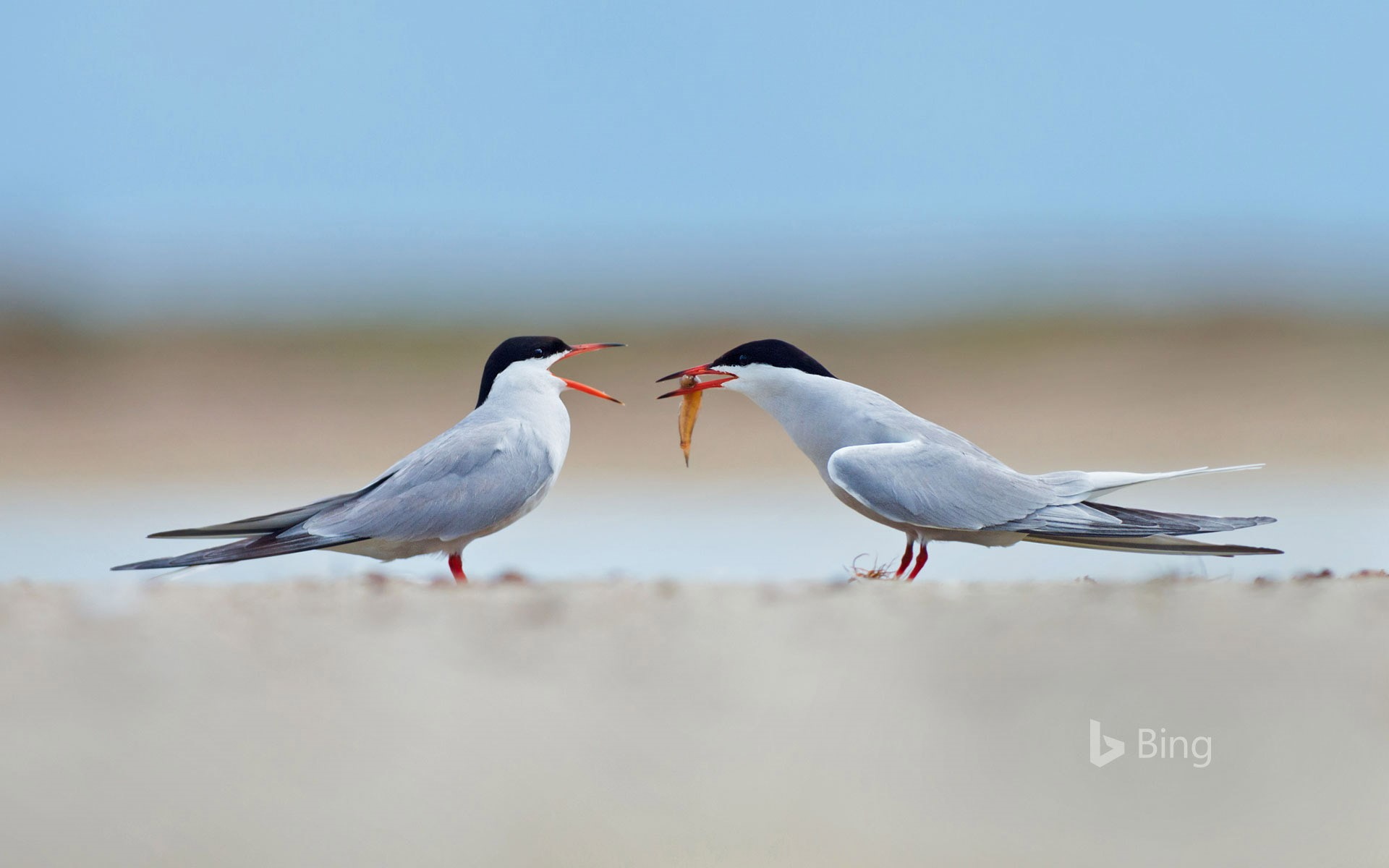 Common terns sharing a small fish