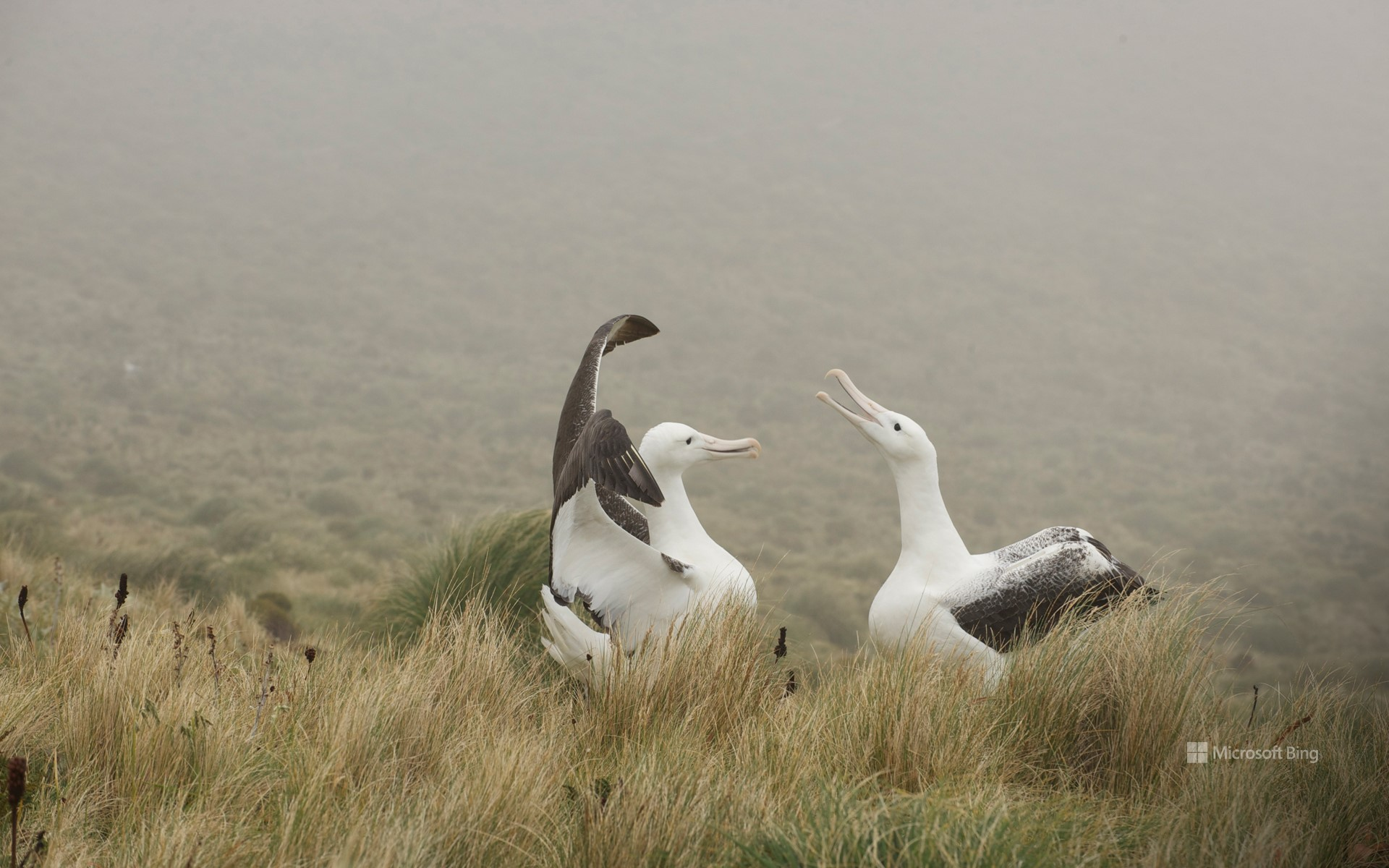 Royal albatross couple playing on Campbell Island, New Zealand