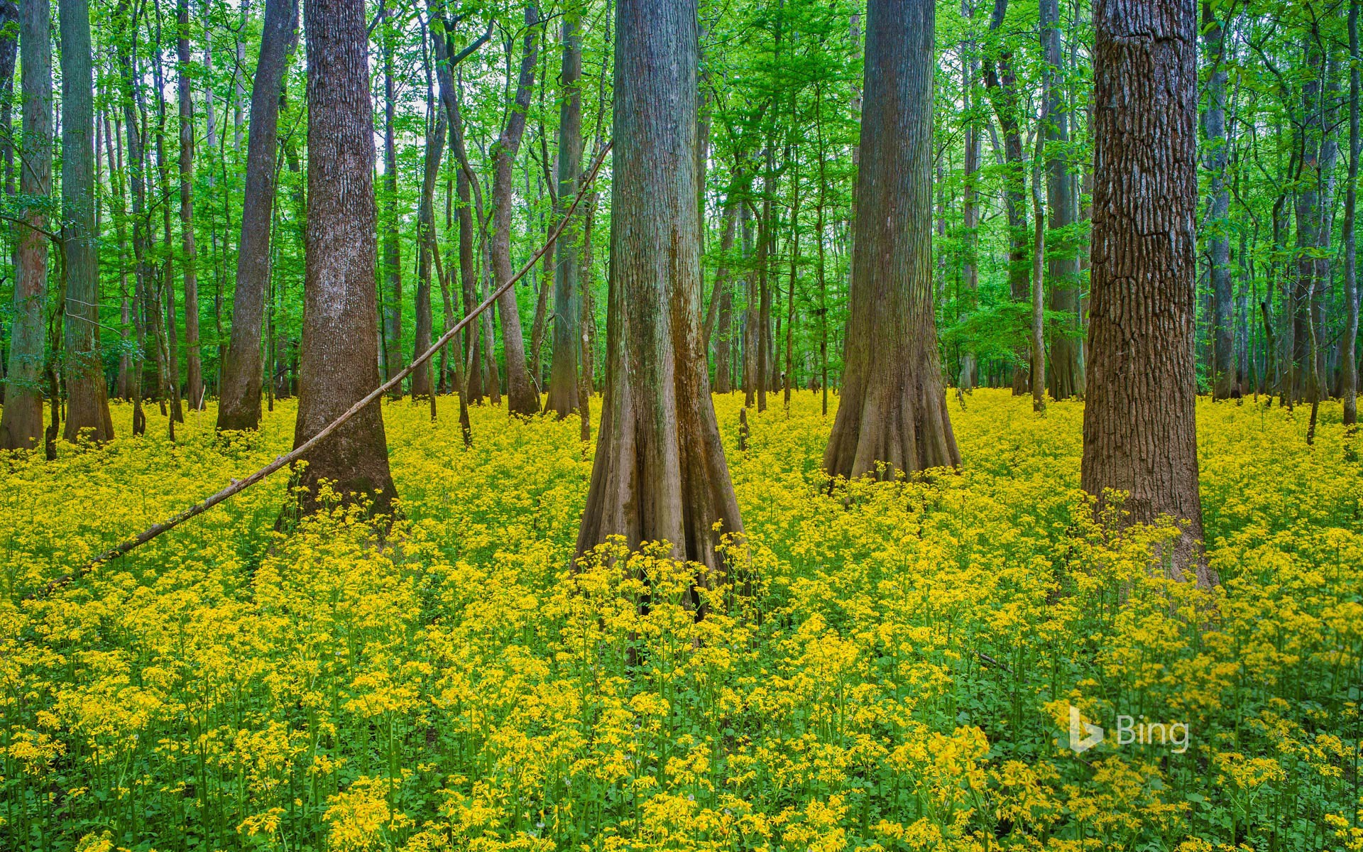 Blooming butterweed in Congaree National Park, South Carolina