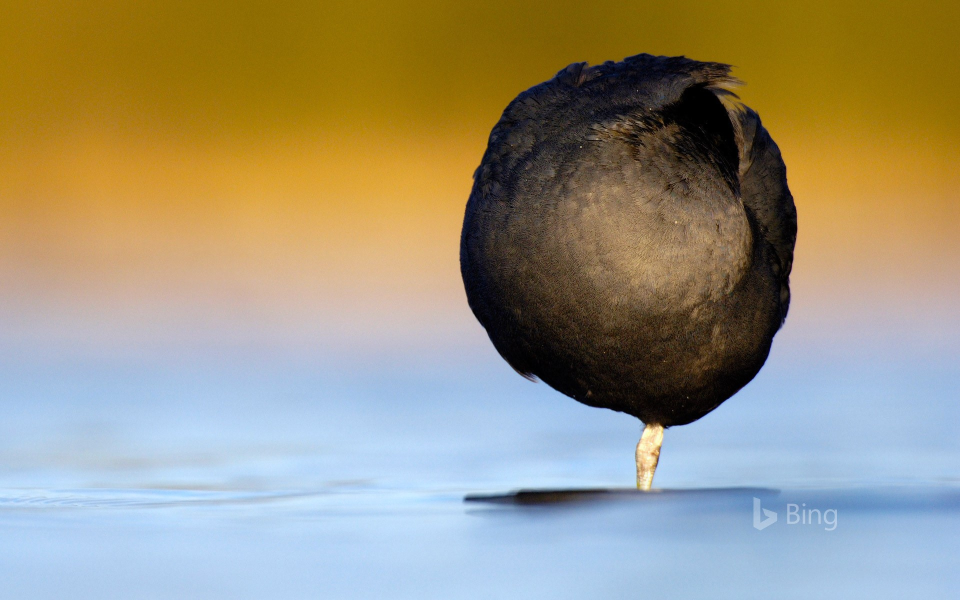 A Eurasian coot resting on one leg in Derbyshire