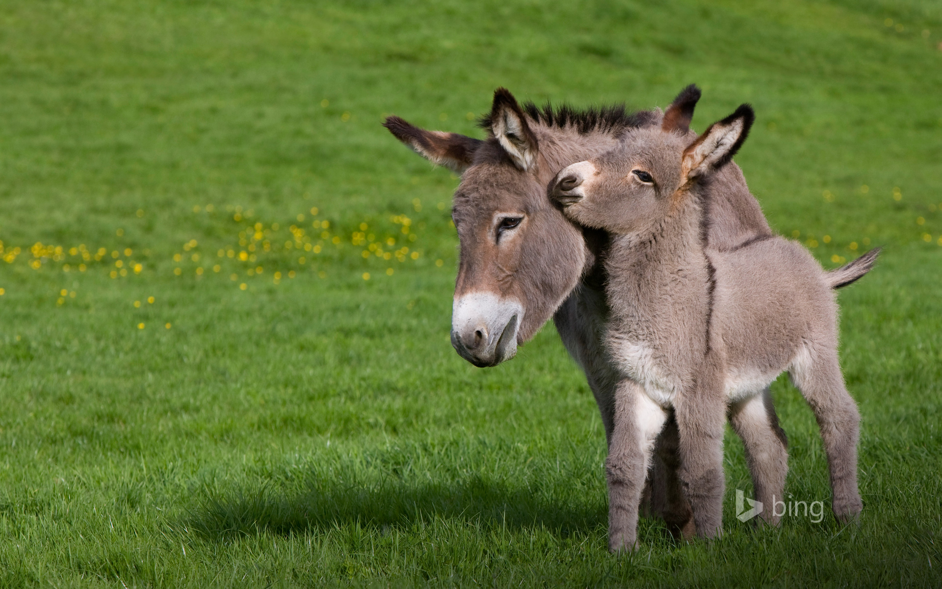 Ane du Cotentin donkey (Equus asinus) in meadow with foal, Normandy, France