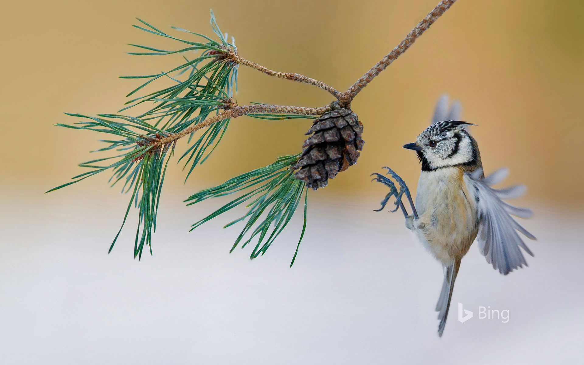 A European crested tit lands on a pine tree in France