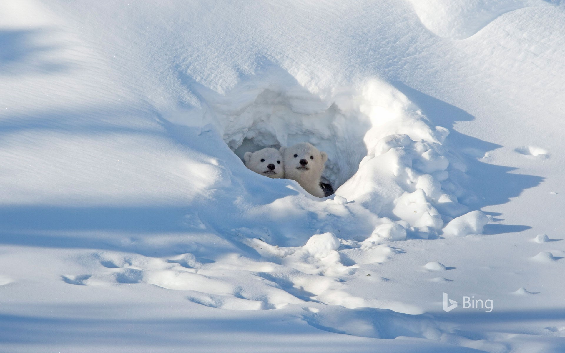 Polar bear cubs looking out of their den in Wapusk National Park in Manitoba, Canada