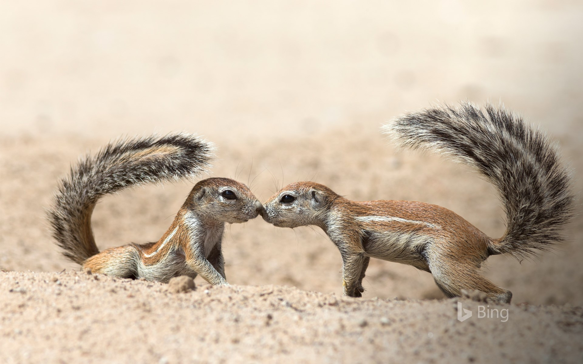 Ground squirrels greeting each other, in the Kgalagadi Transfrontier Park, North Cape, South Africa