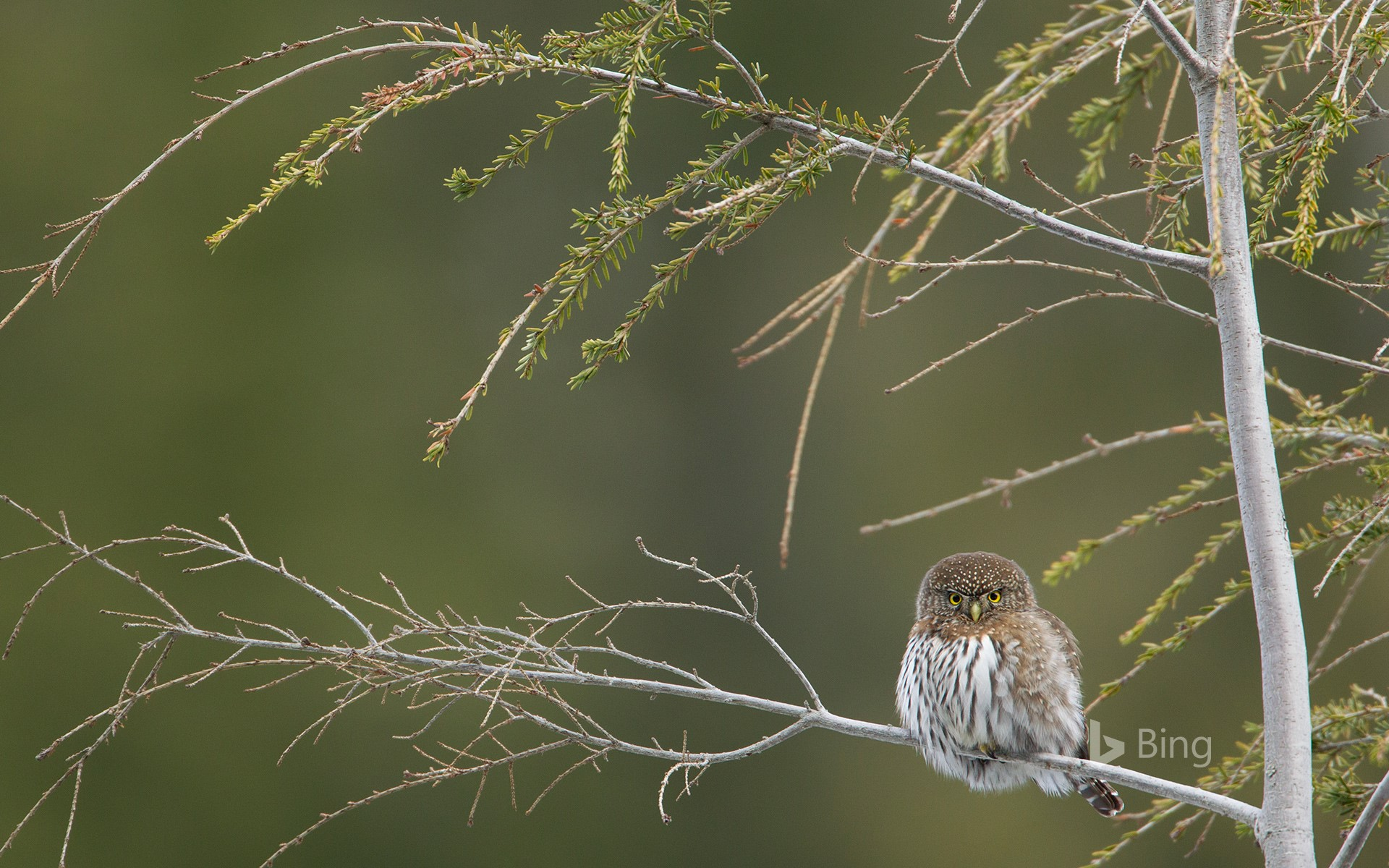 Northern pygmy owl,  Cypress Mountain, British Columbia, Canada