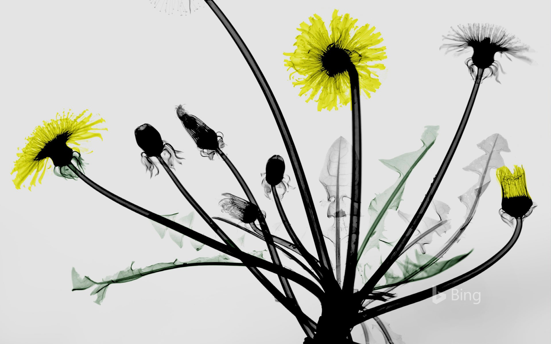 Colored X-ray of dandelion flowers