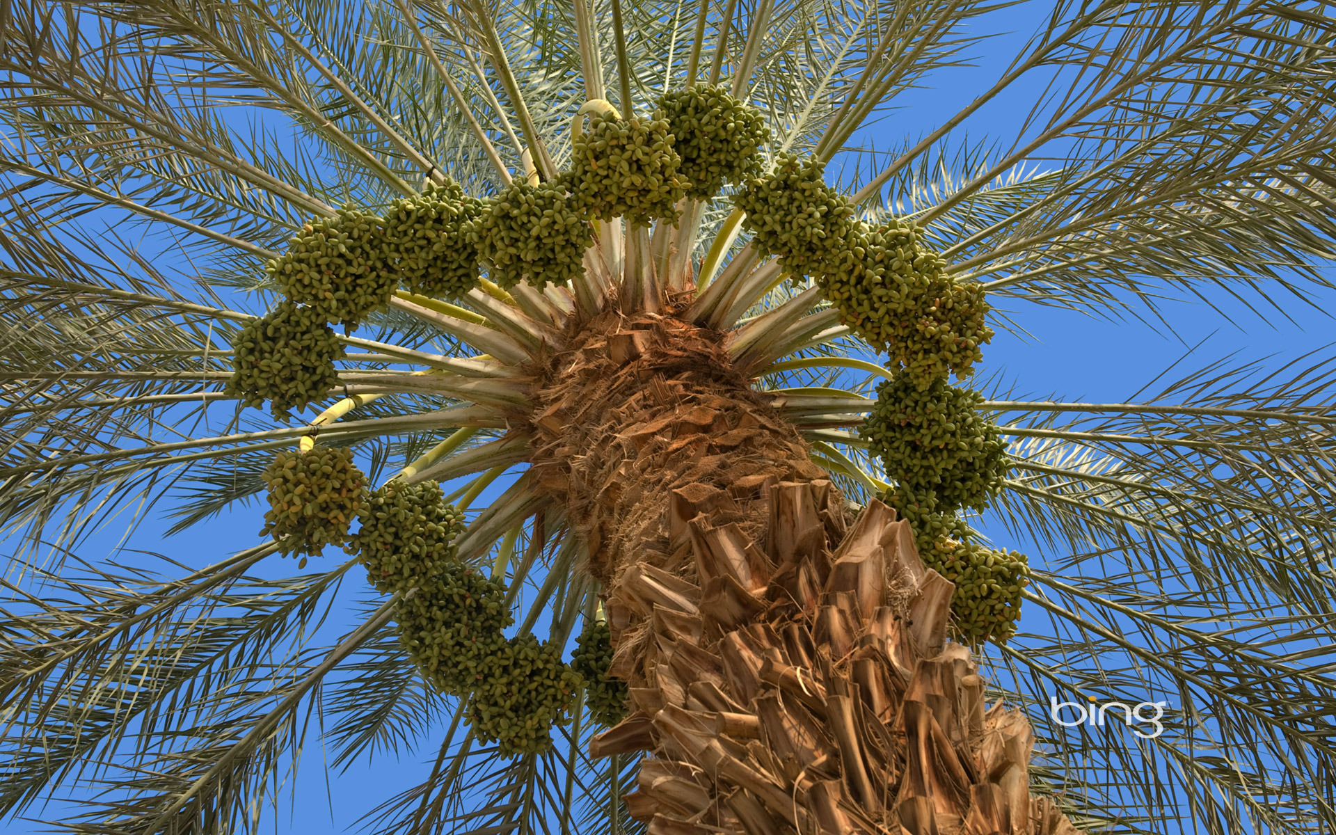 Fruiting date palm tree