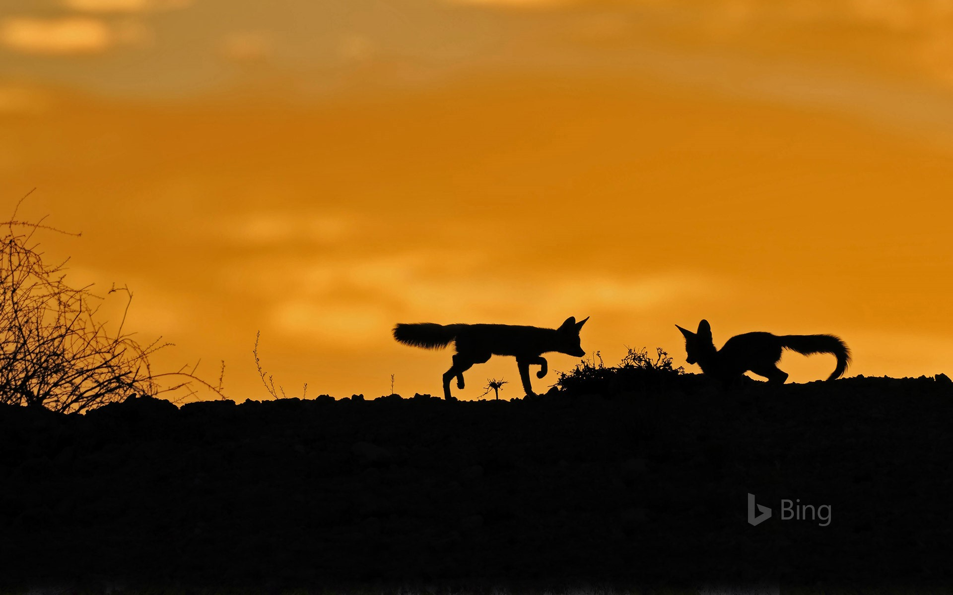 Cape foxes in the Kalahari Desert, South Africa
