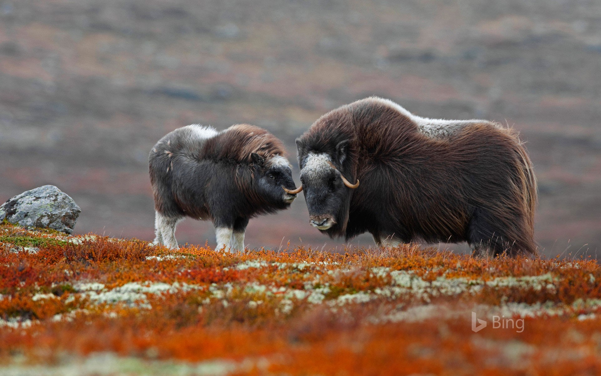 A muskox and her calf in Dovrefjell-Sunndalsfjella National Park, Norway