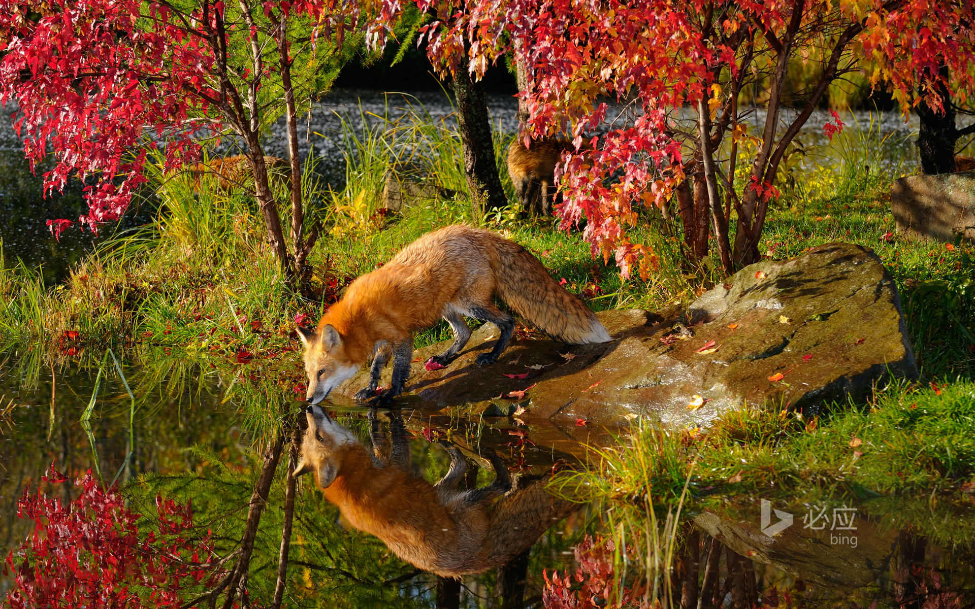 Red fox drinking water and reflection by river near maple tree in autumn morning