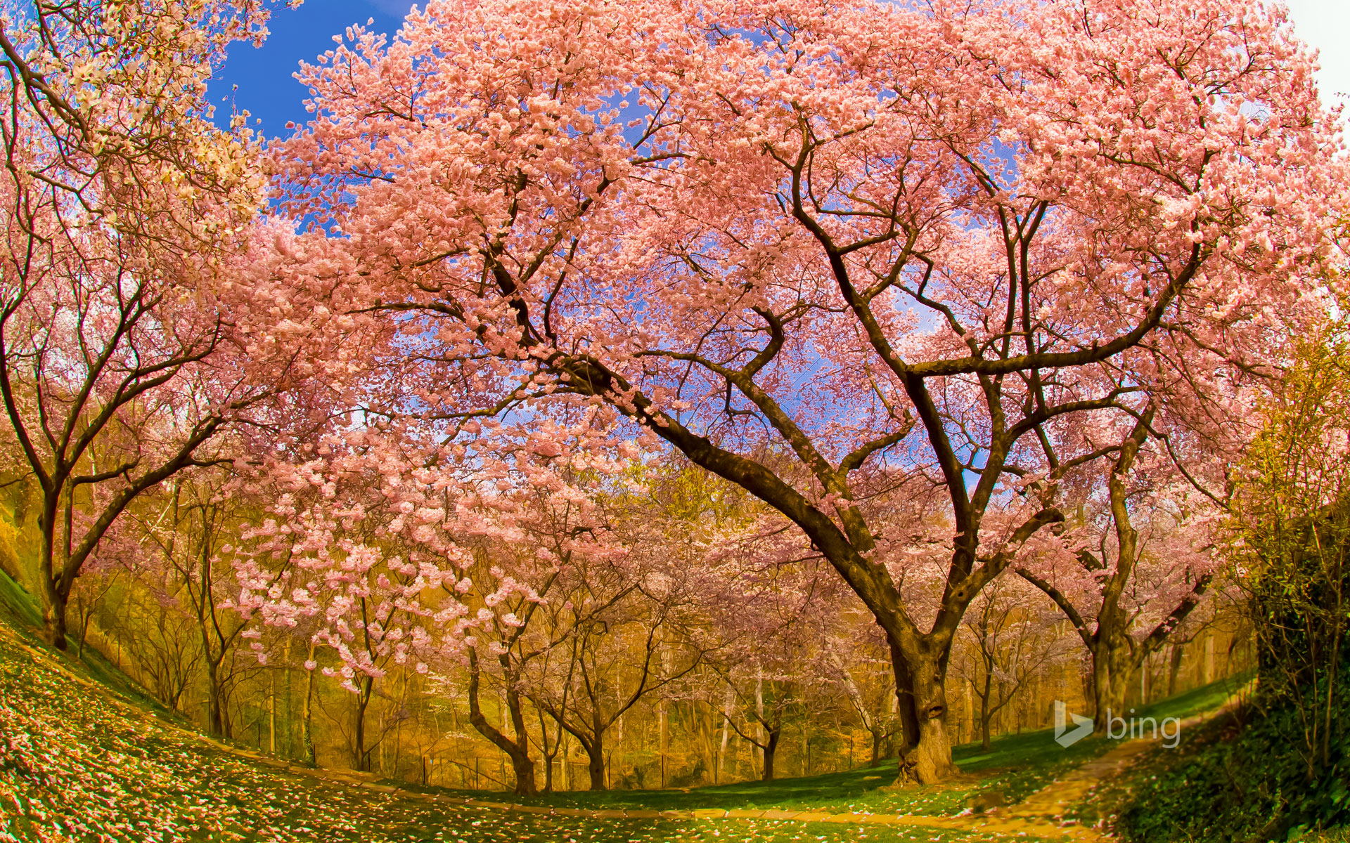 Cherry blossoms in Dumbarton Oaks Gardens, Washington, D.C.