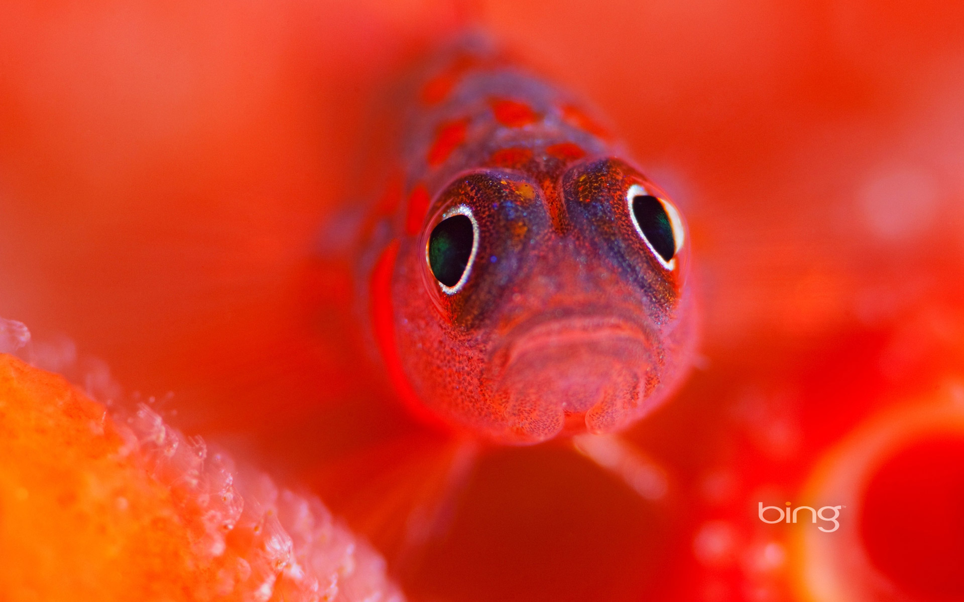 A flame goby guards her eggs in the Kaafu Atoll of the Maldives