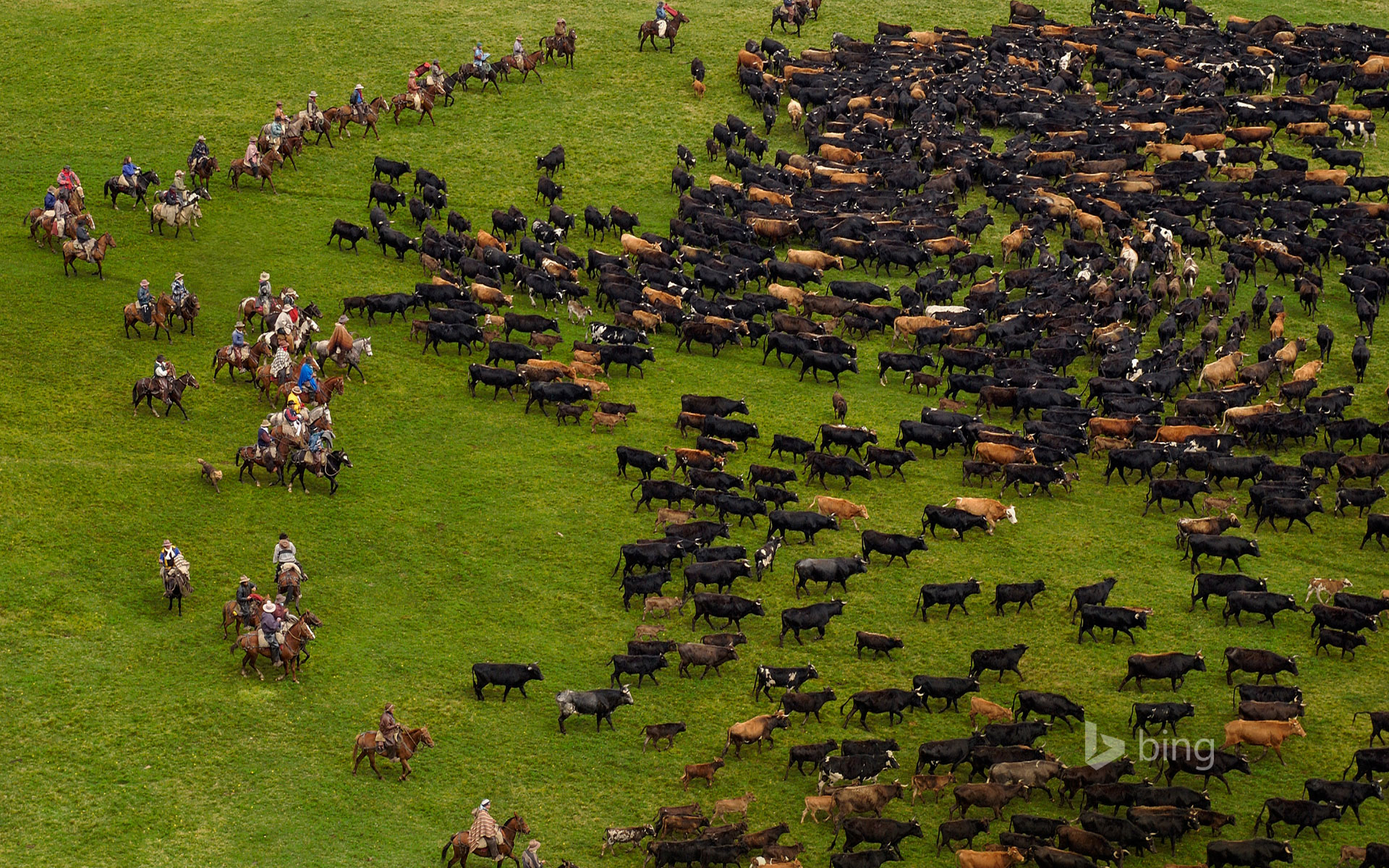 Cattle during an annual overnight round-up, Andes Mountains, Ecuador