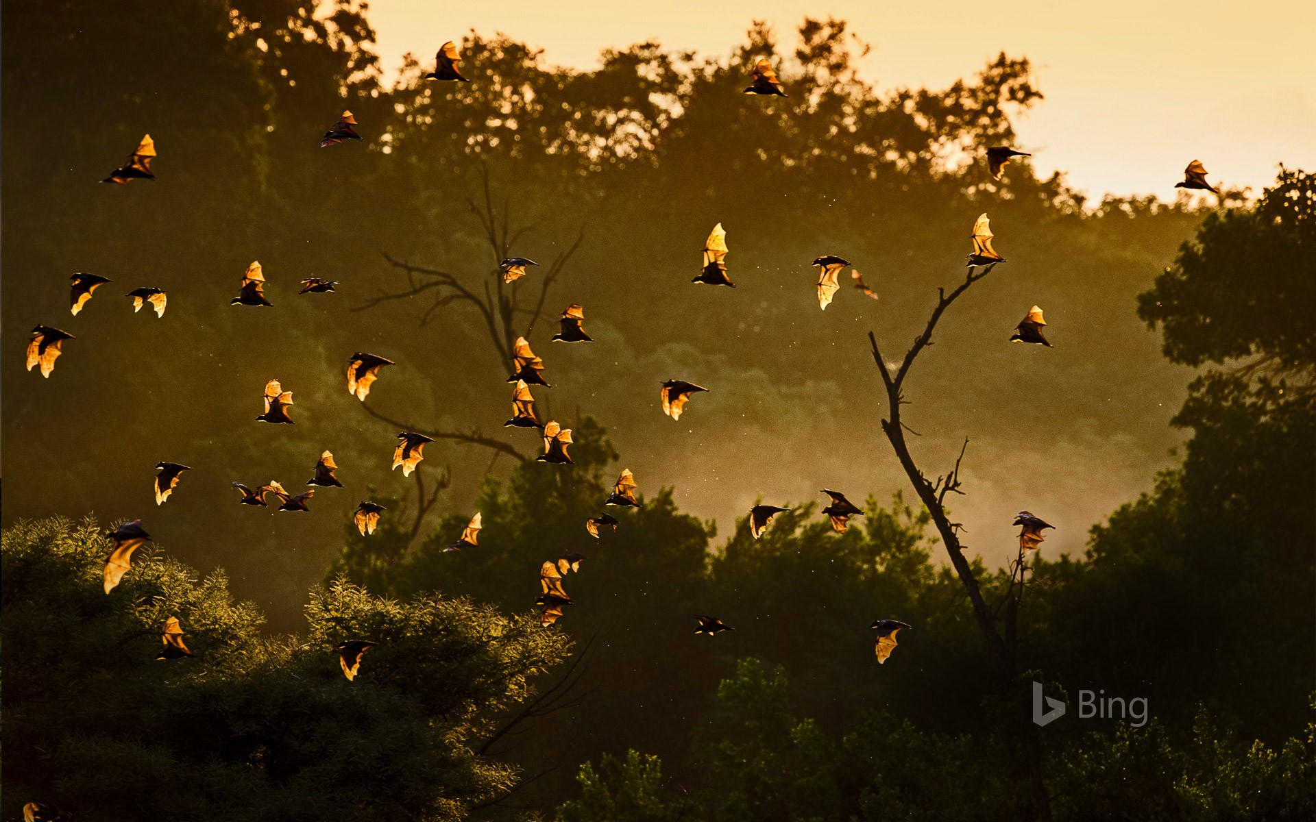 Straw-colored fruit bats in Kasanka National Park, Zambia