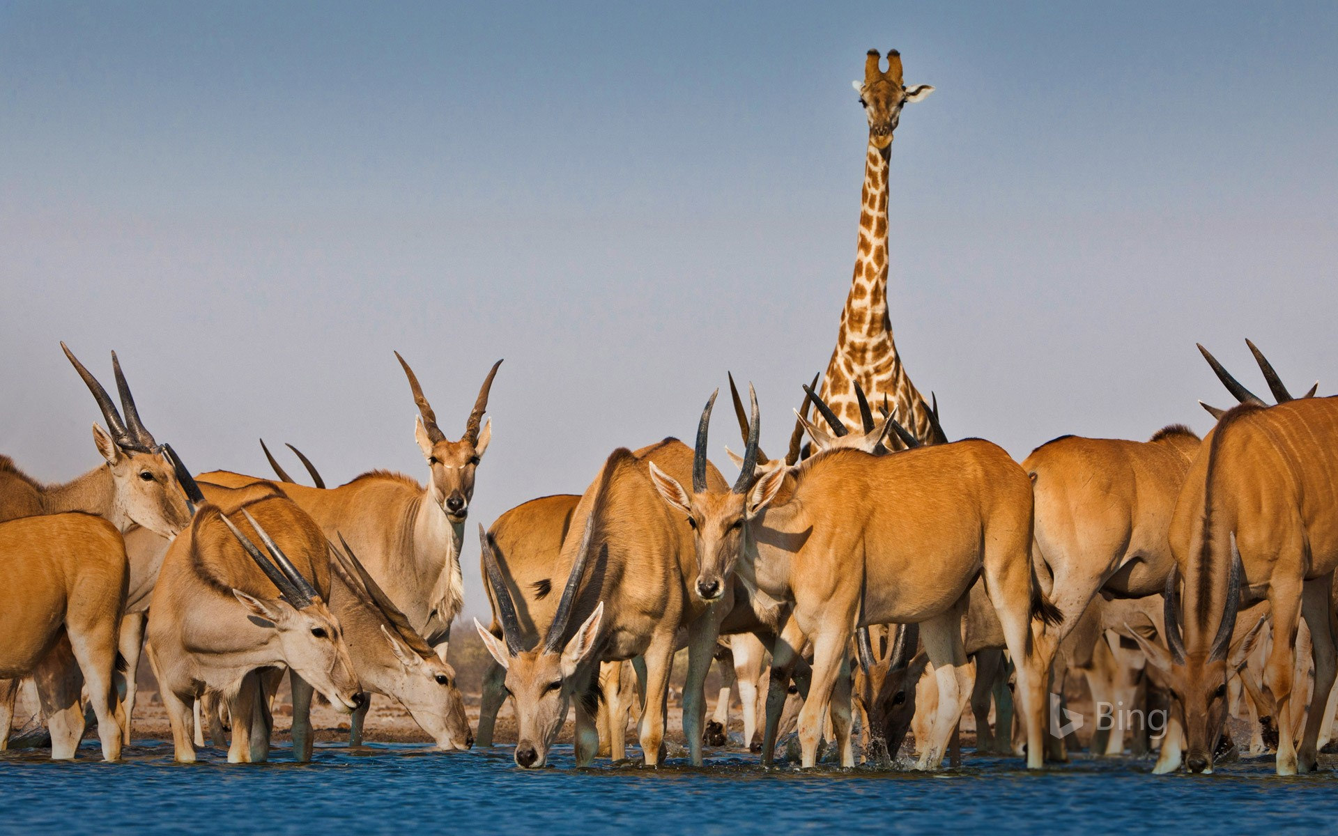Eland antelope and giraffe at Etosha National Park, Namibia