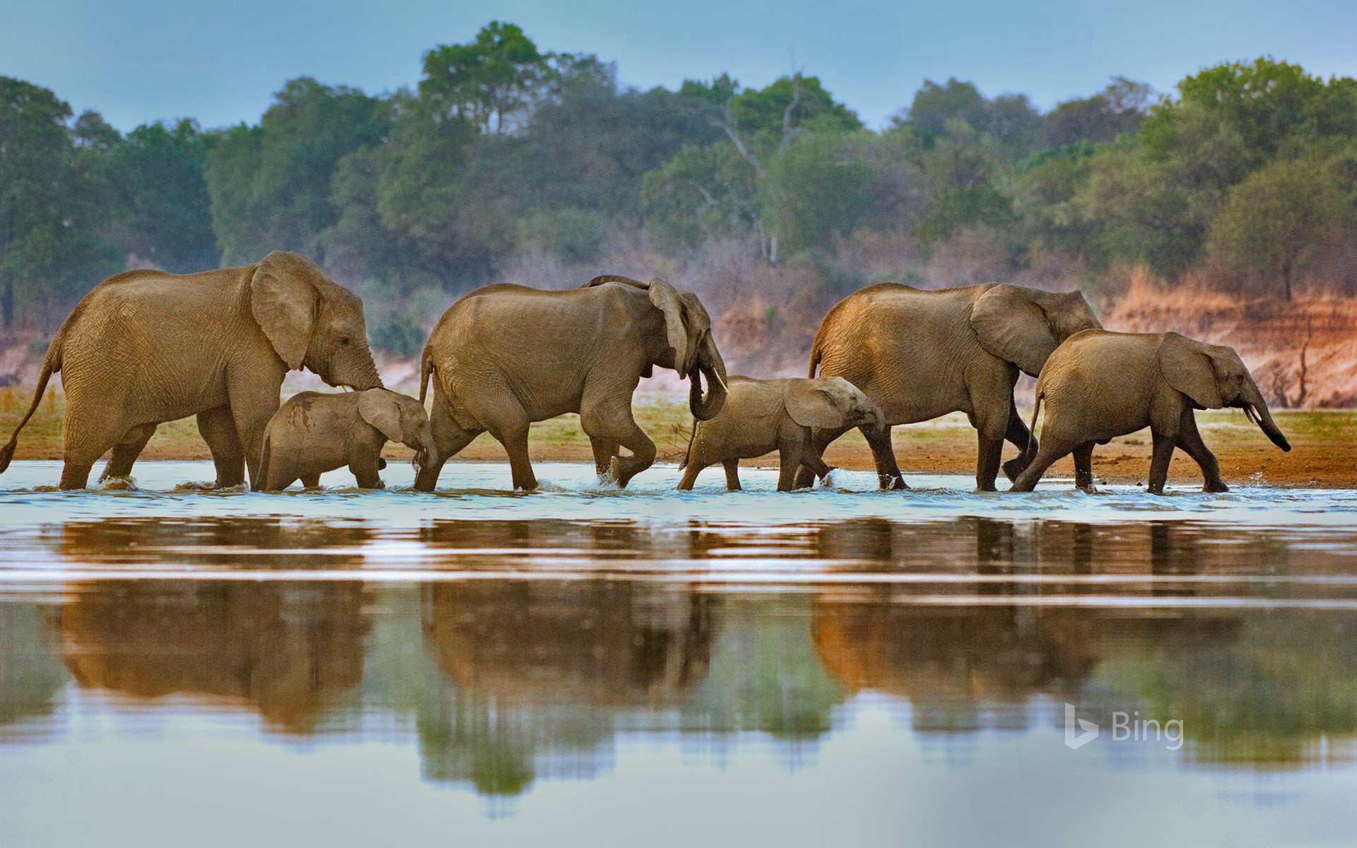 Elephants crossing Luangwa River, Zambia (© Frans Lanting/Gallery Stock)
