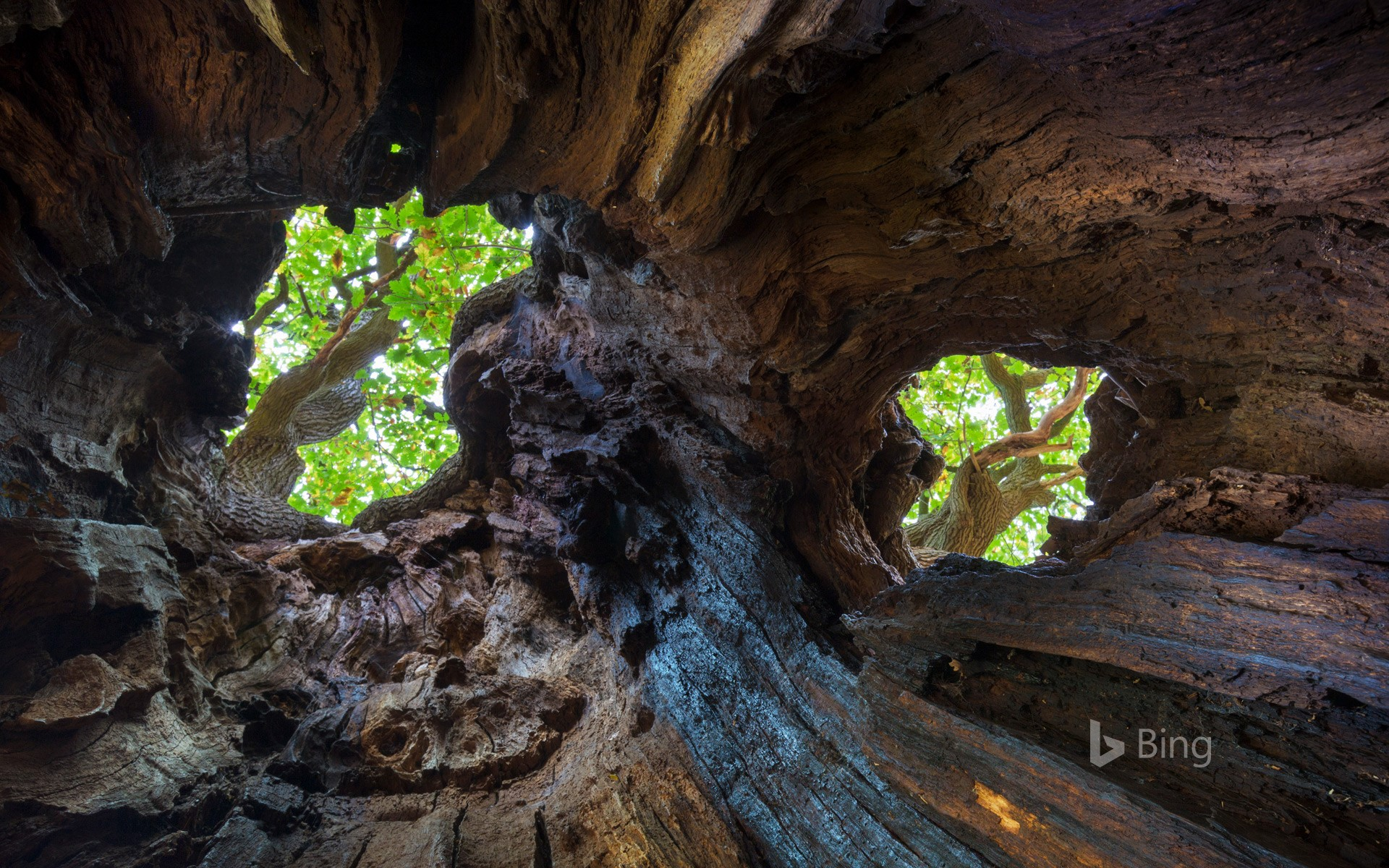 View up to the canopy through holes in an old English oak, Sherwood Forest, Nottinghamshire