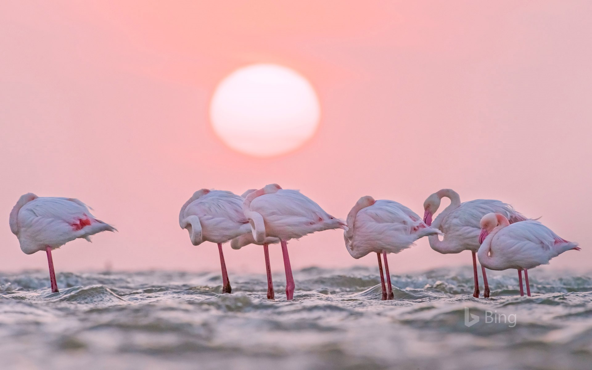 Greater flamingos in Walvis Bay, Namibia (© Yva Momatiuk and John Eastcott/Minden Pictures)