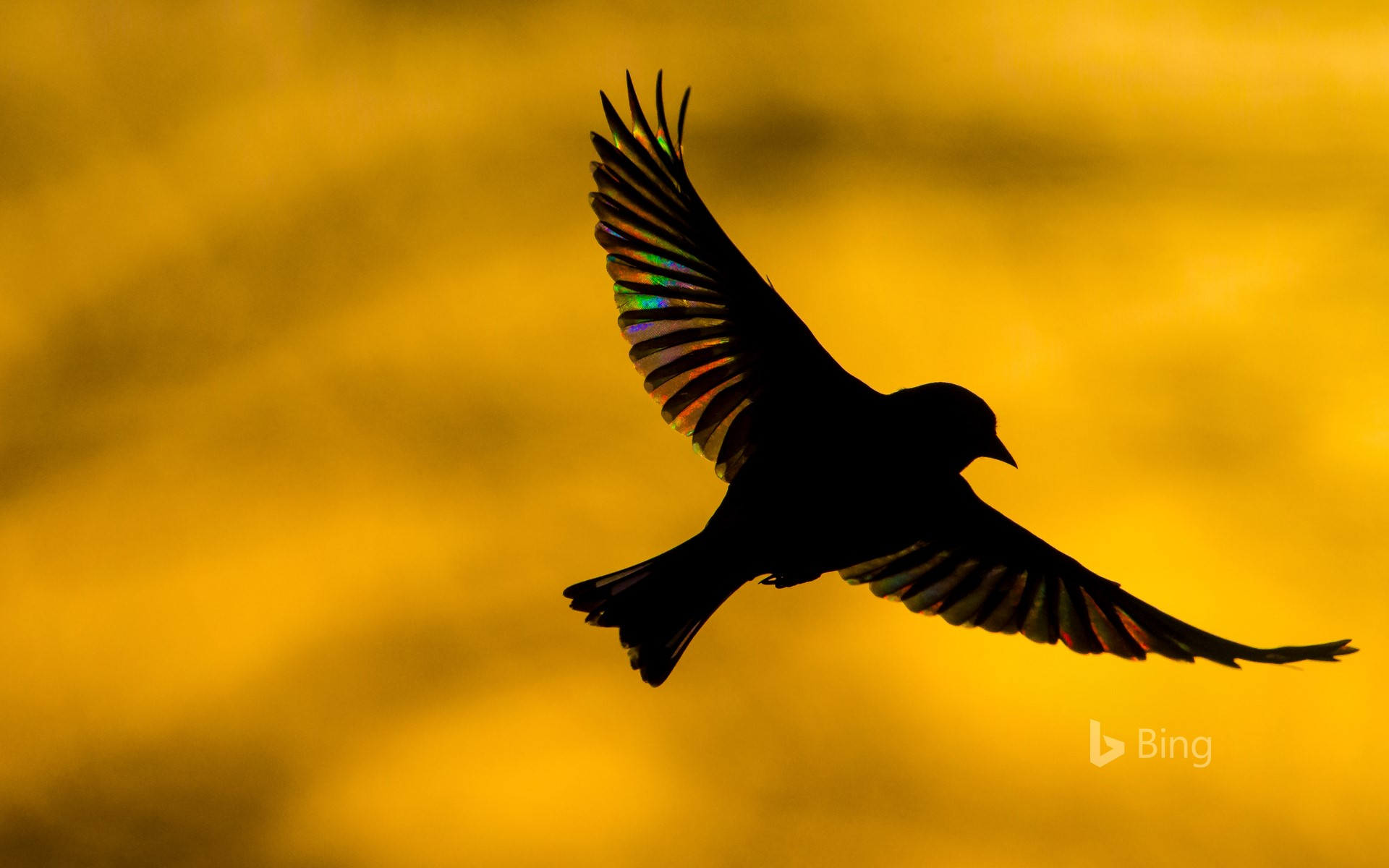 A greenfinch flying at dawn in Monmouthshire, Wales