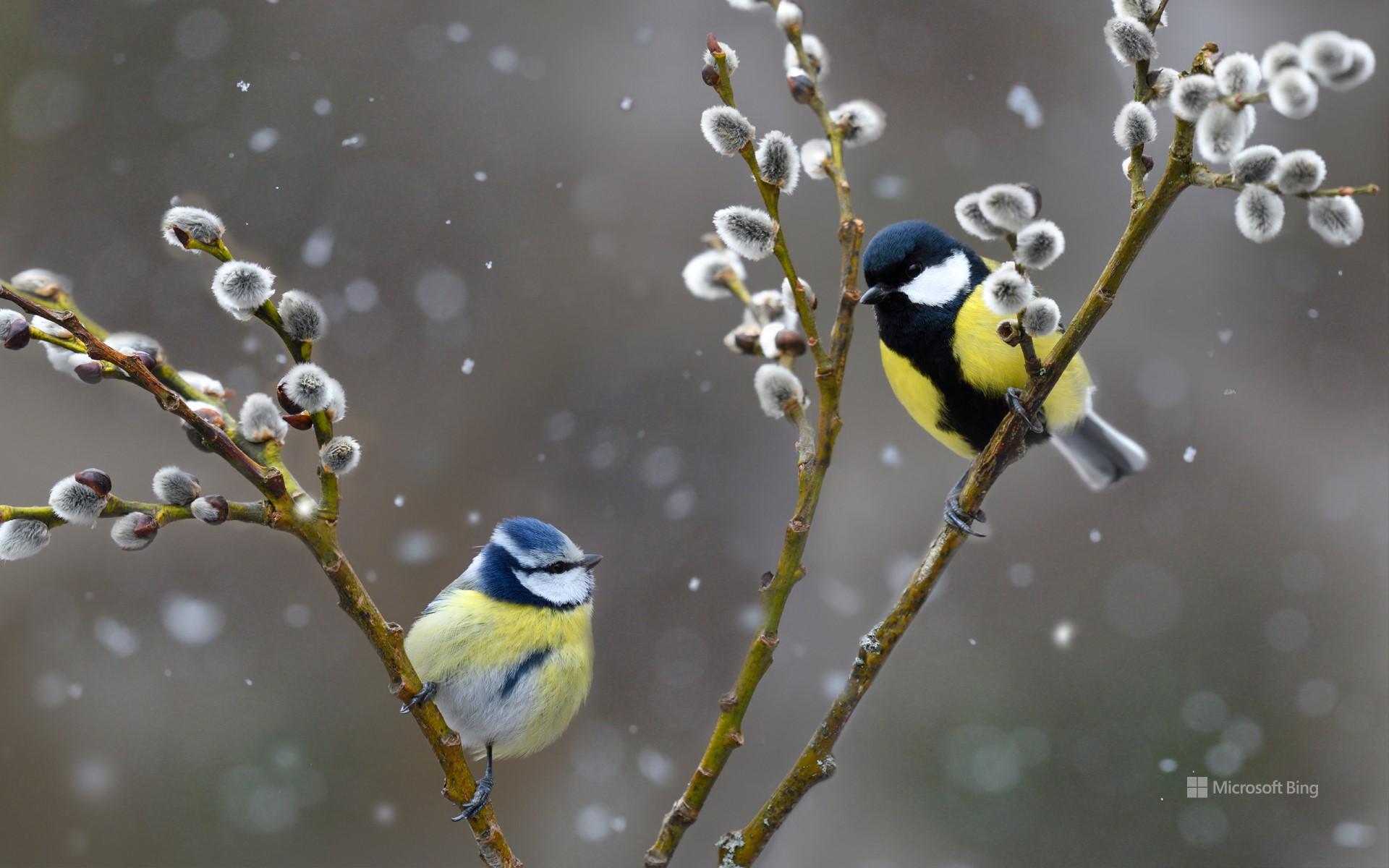 Blue tit (left) and great tit in snowfall, Northern Vosges Regional Nature Park, France