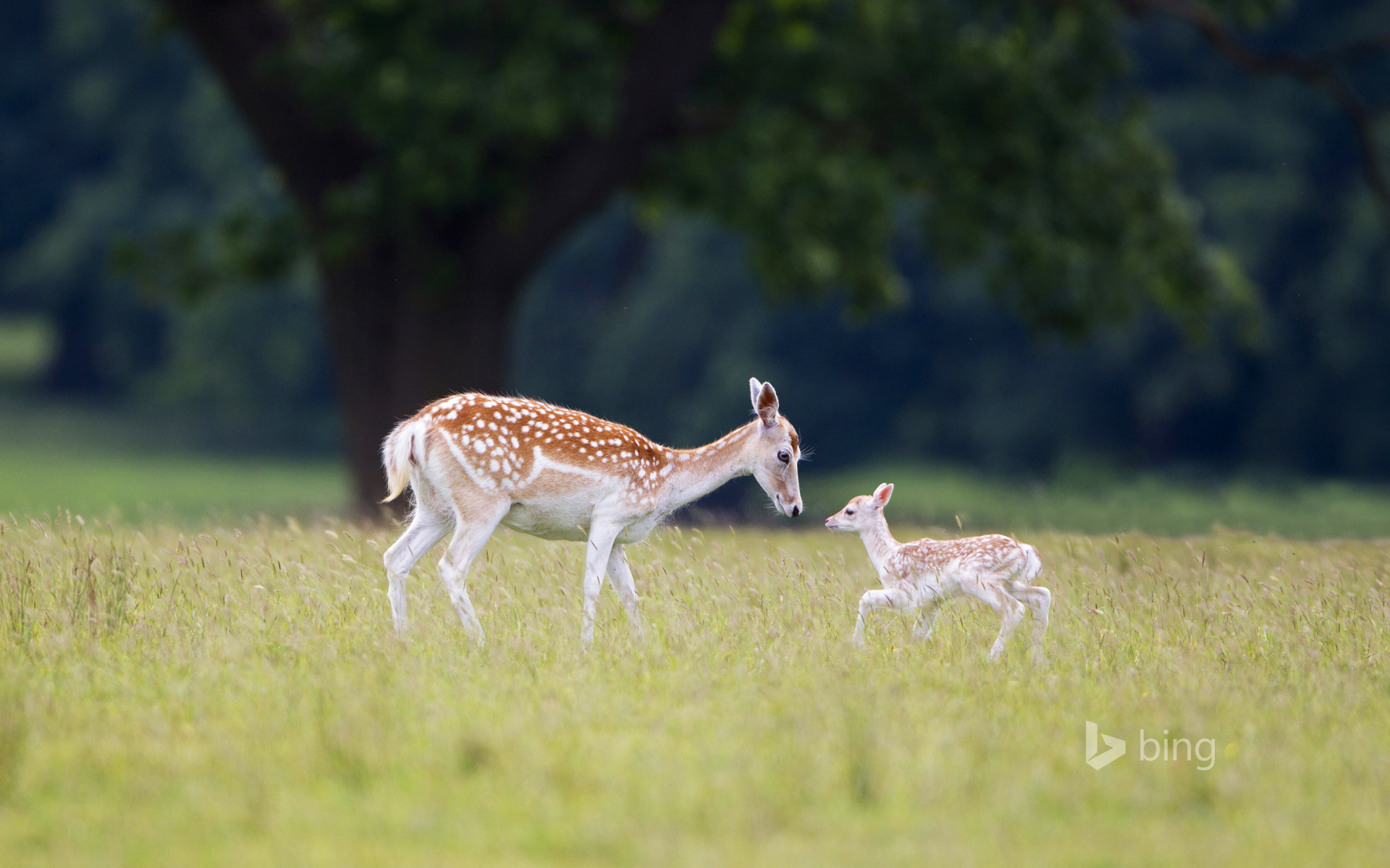 A fallow deer (doe) with fawn at Helmingham Hall, Suffolk