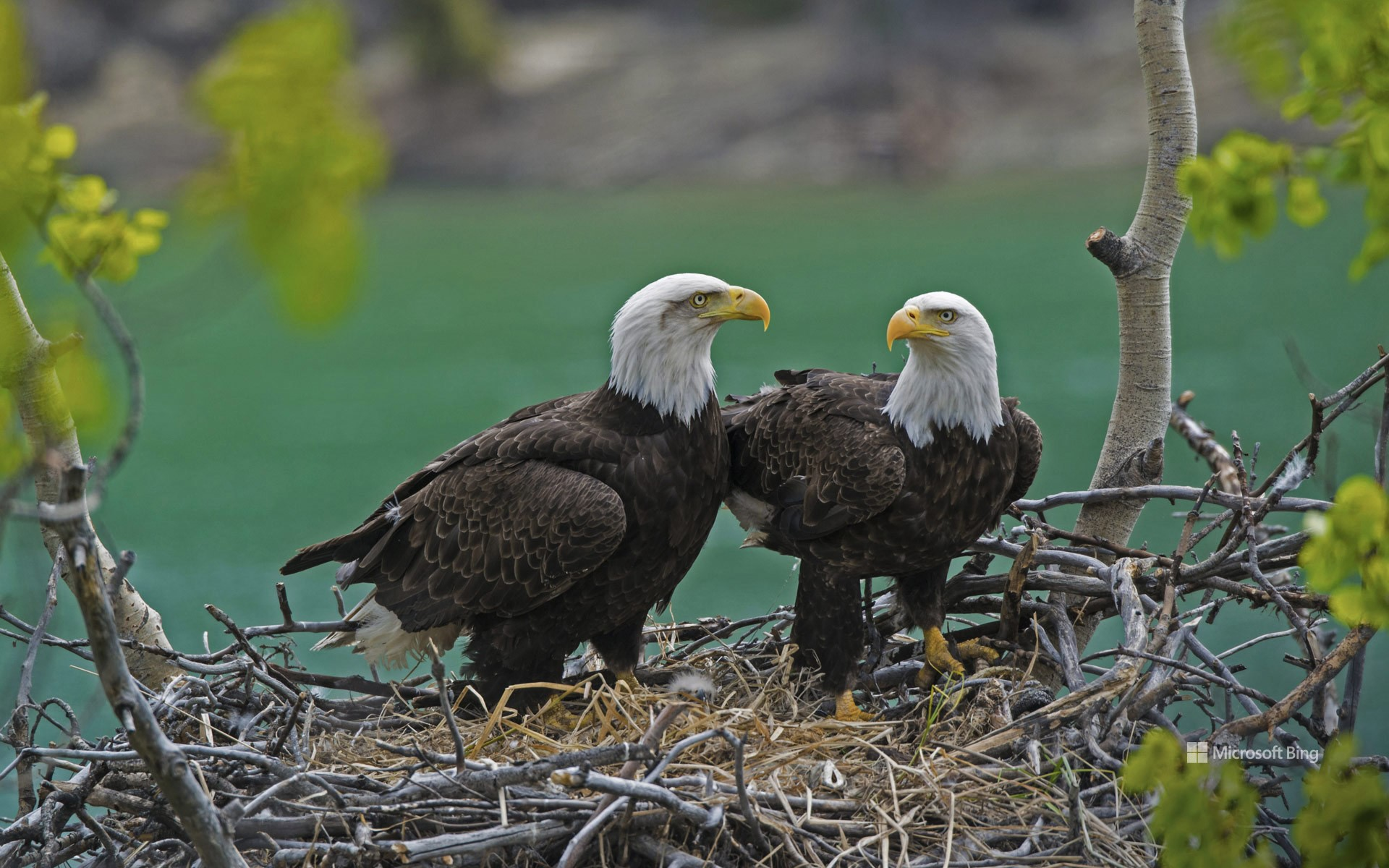 Bald eagle pair with a chick in their nest near the Yukon River, Yukon, Canada