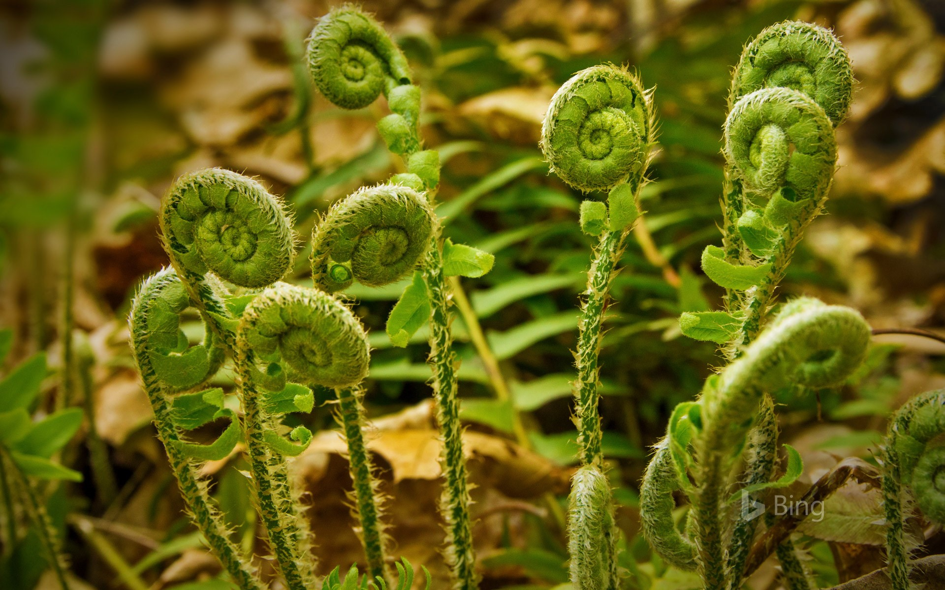 Fiddlehead ferns at Valley Falls Park in Vernon, Connecticut