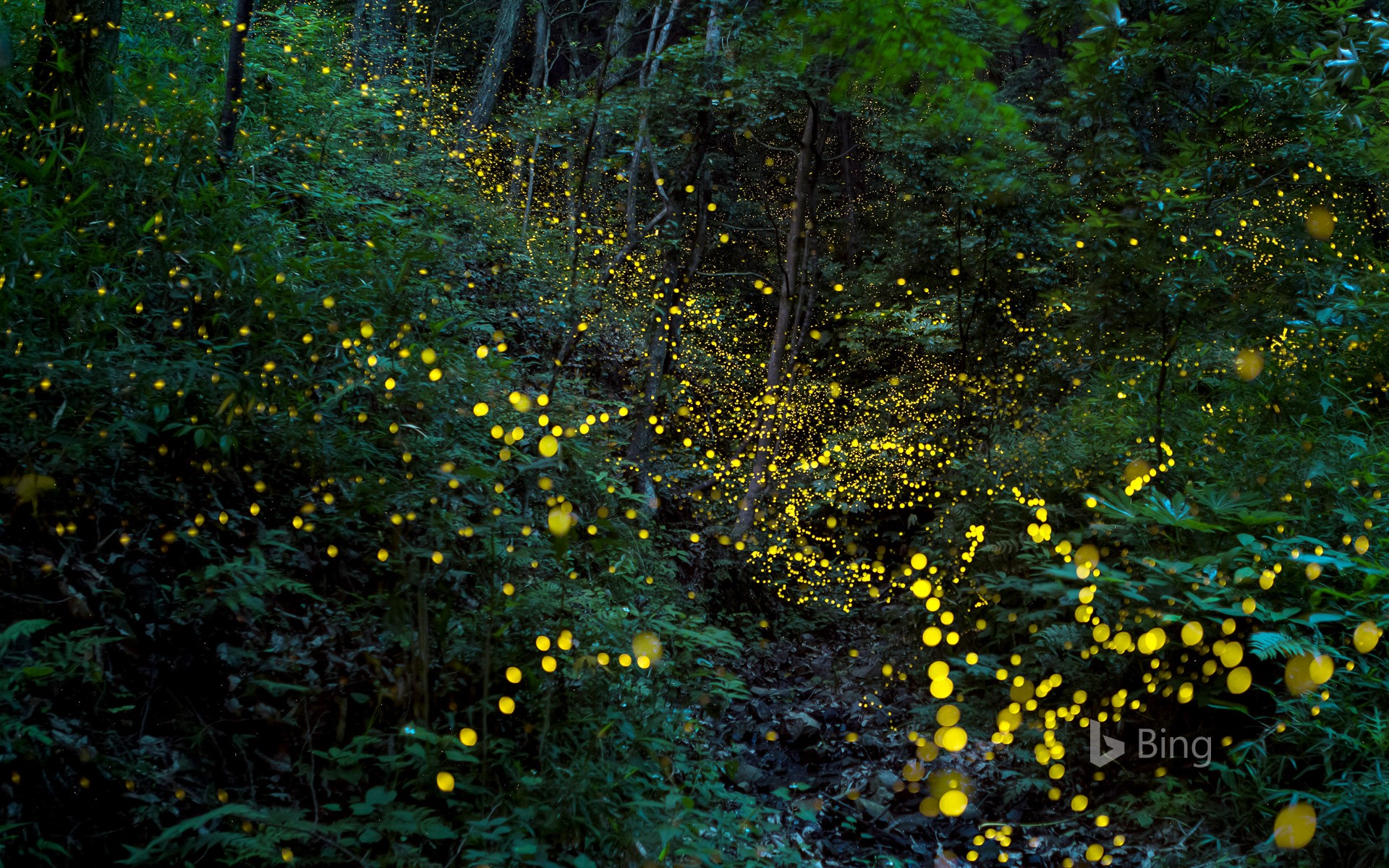 """Fireflies in the forest"" Okayama"