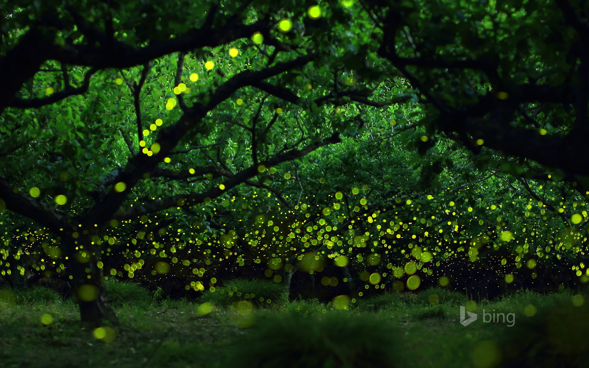 Long-exposure photograph of fireflies in a forested area near Nagoya, Japan