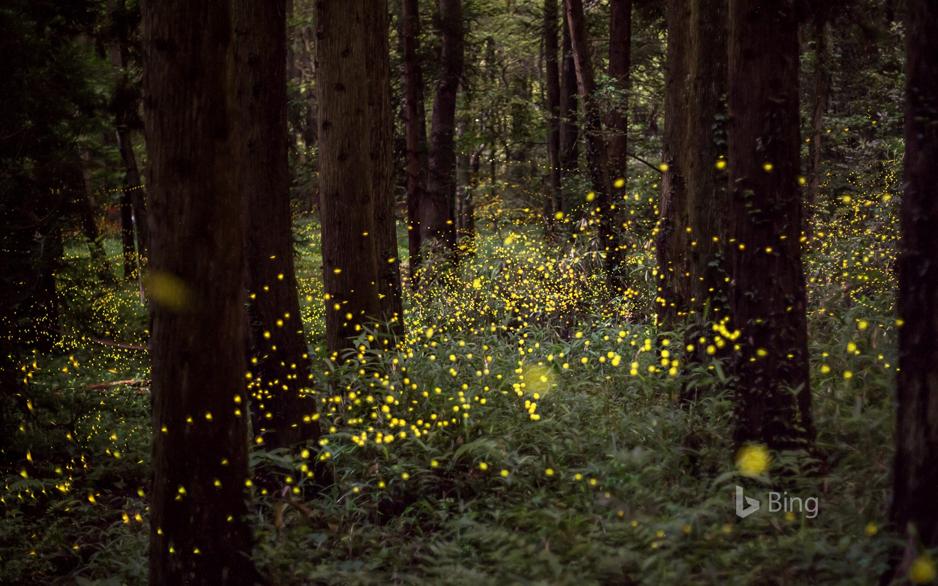 """Fireflies in the forest"" Okayama, Okayama"