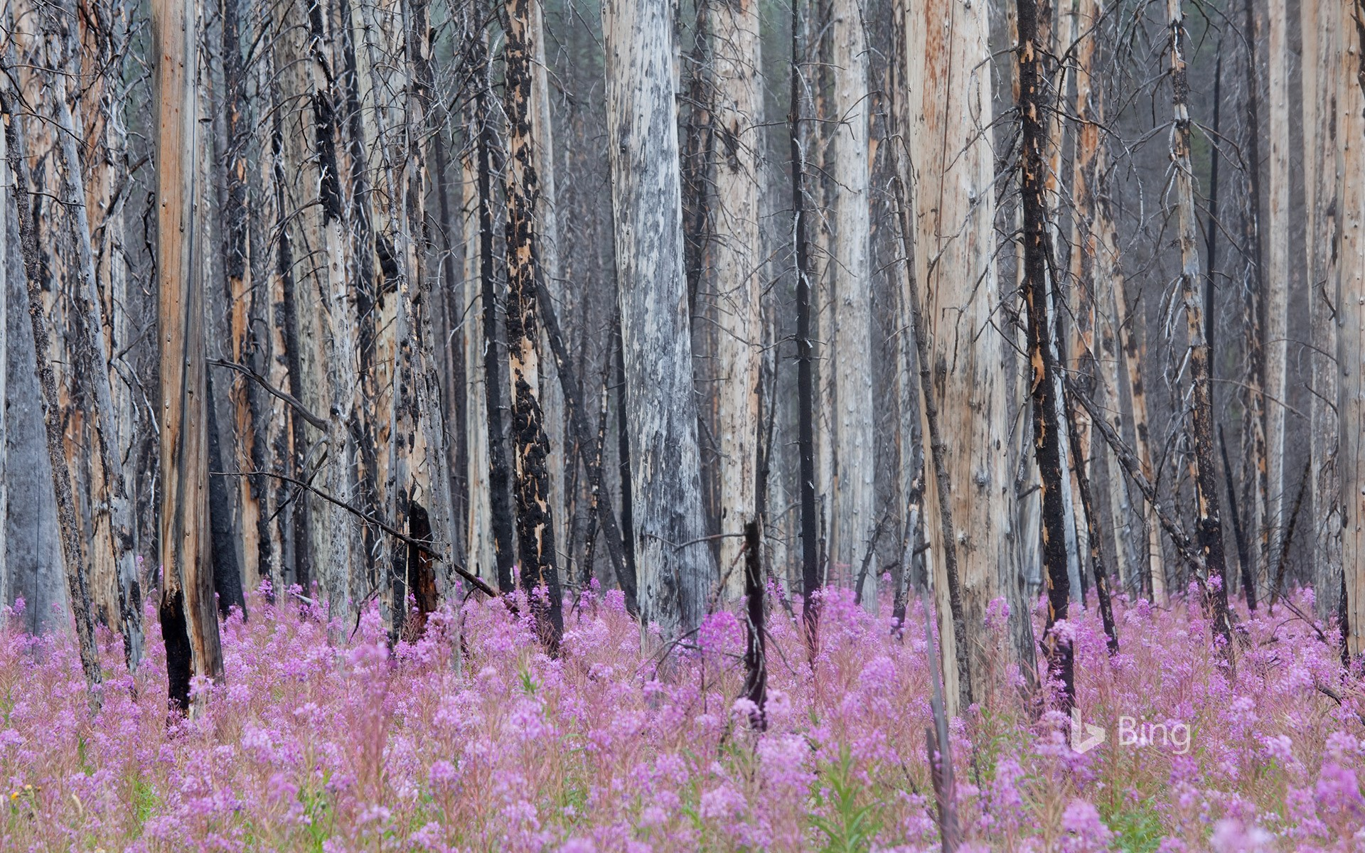 Burnt forest with fireweed in Banff National Park, Alberta, Canada