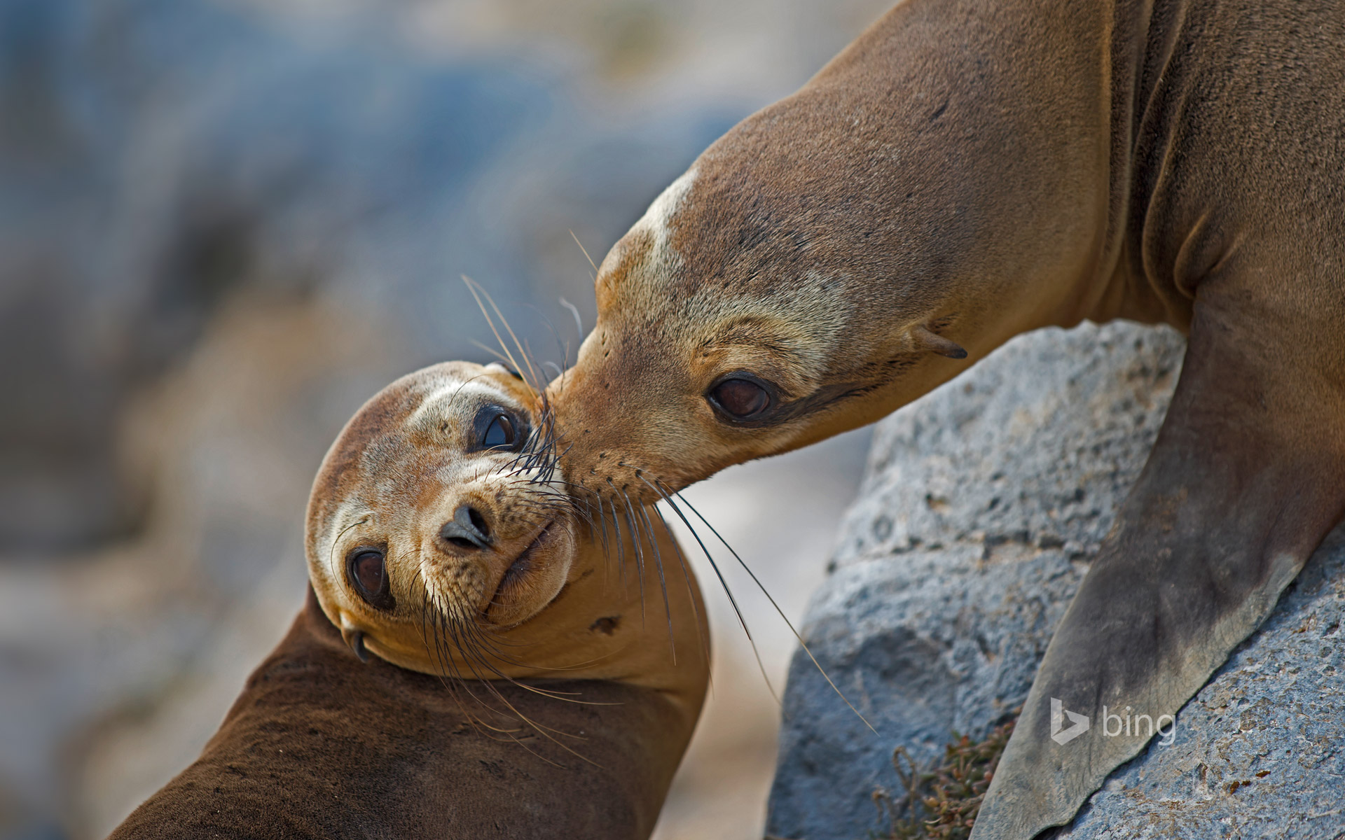 Galápagos sea lion mother and pup on Floreana Island, Ecuador