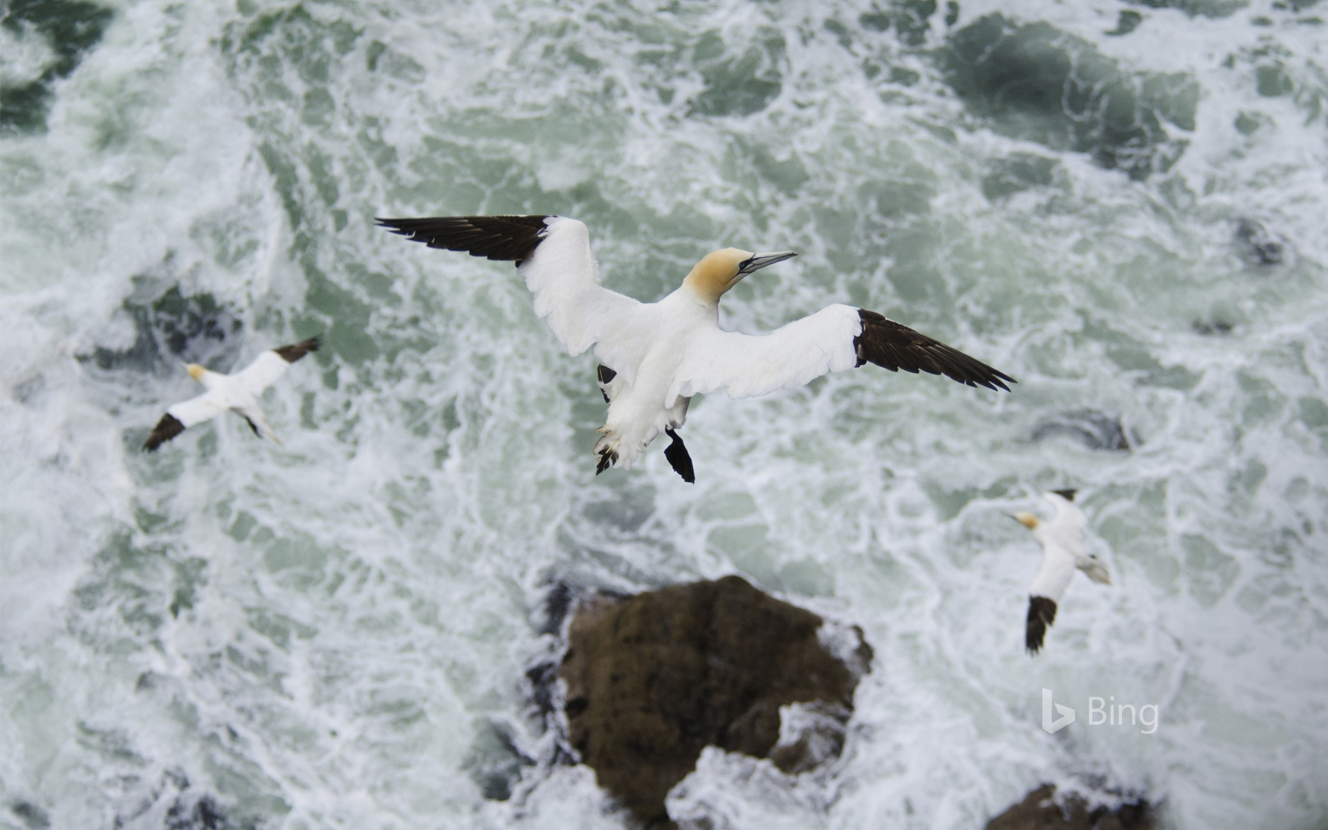 Northern gannet (Morus bassanus) in flight, Troupe Head RSPB Reserve, Aberdeenshire