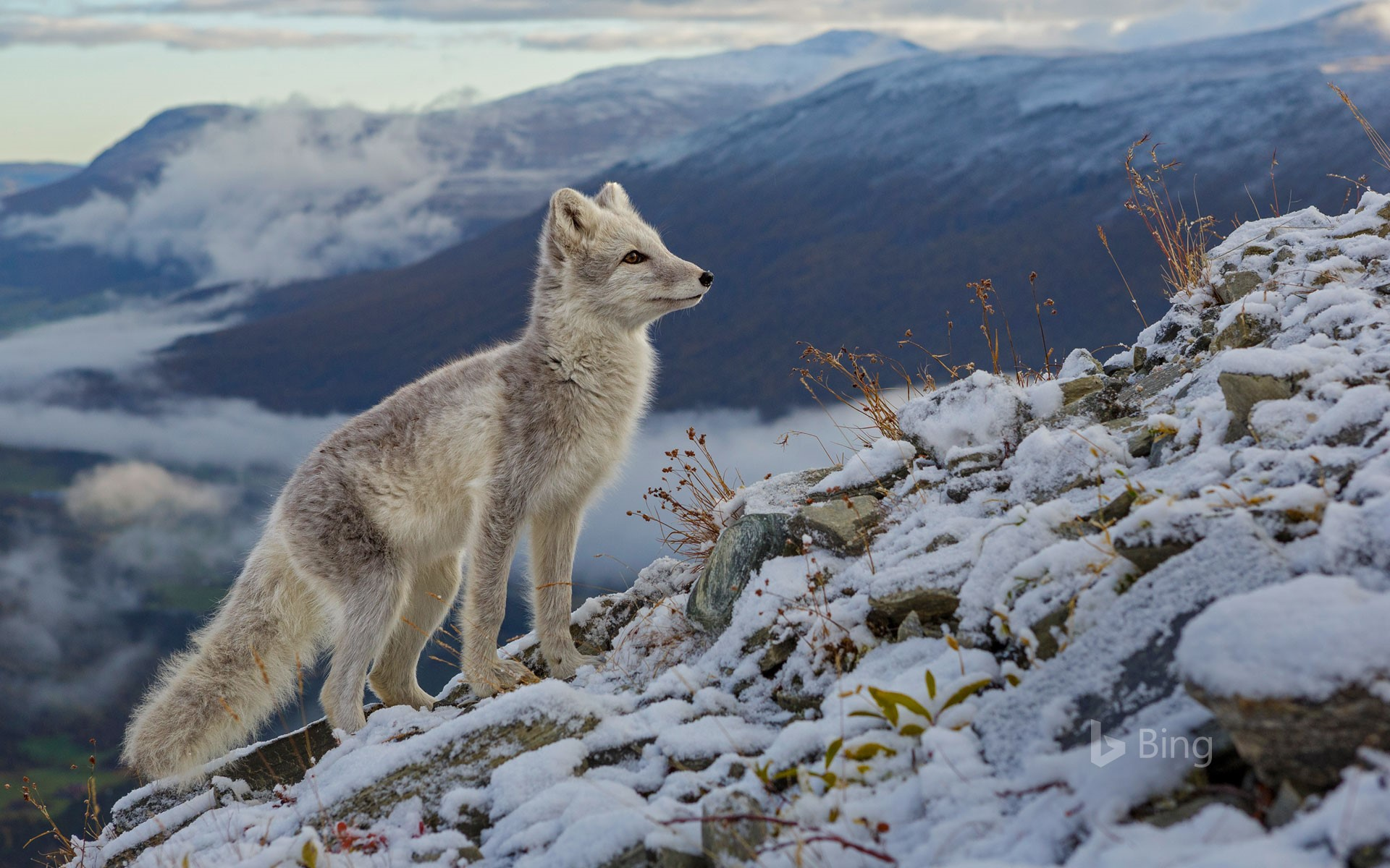 An arctic fox in Dovrefjell National Park, Norway