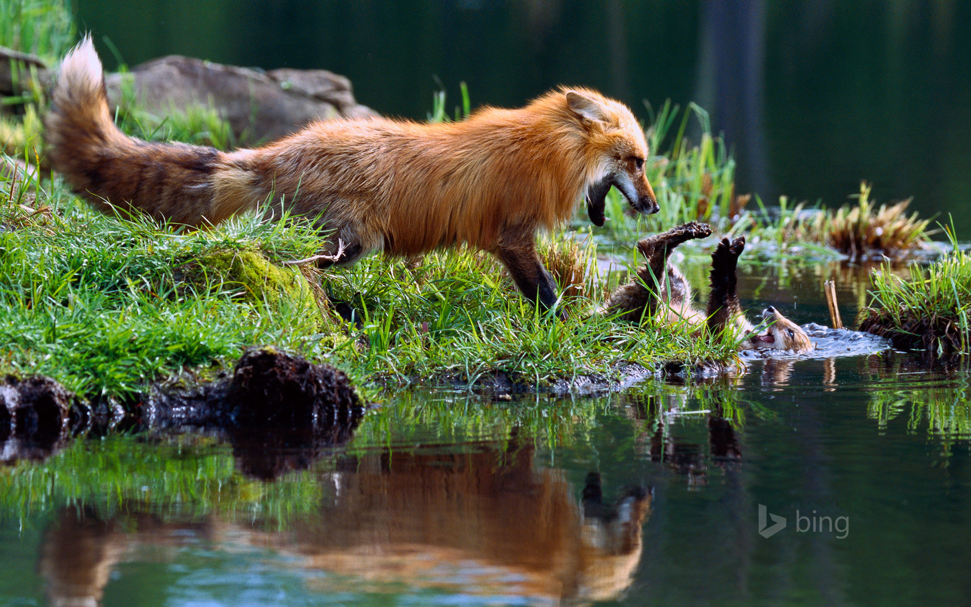 Red fox mother play-fighting with kit