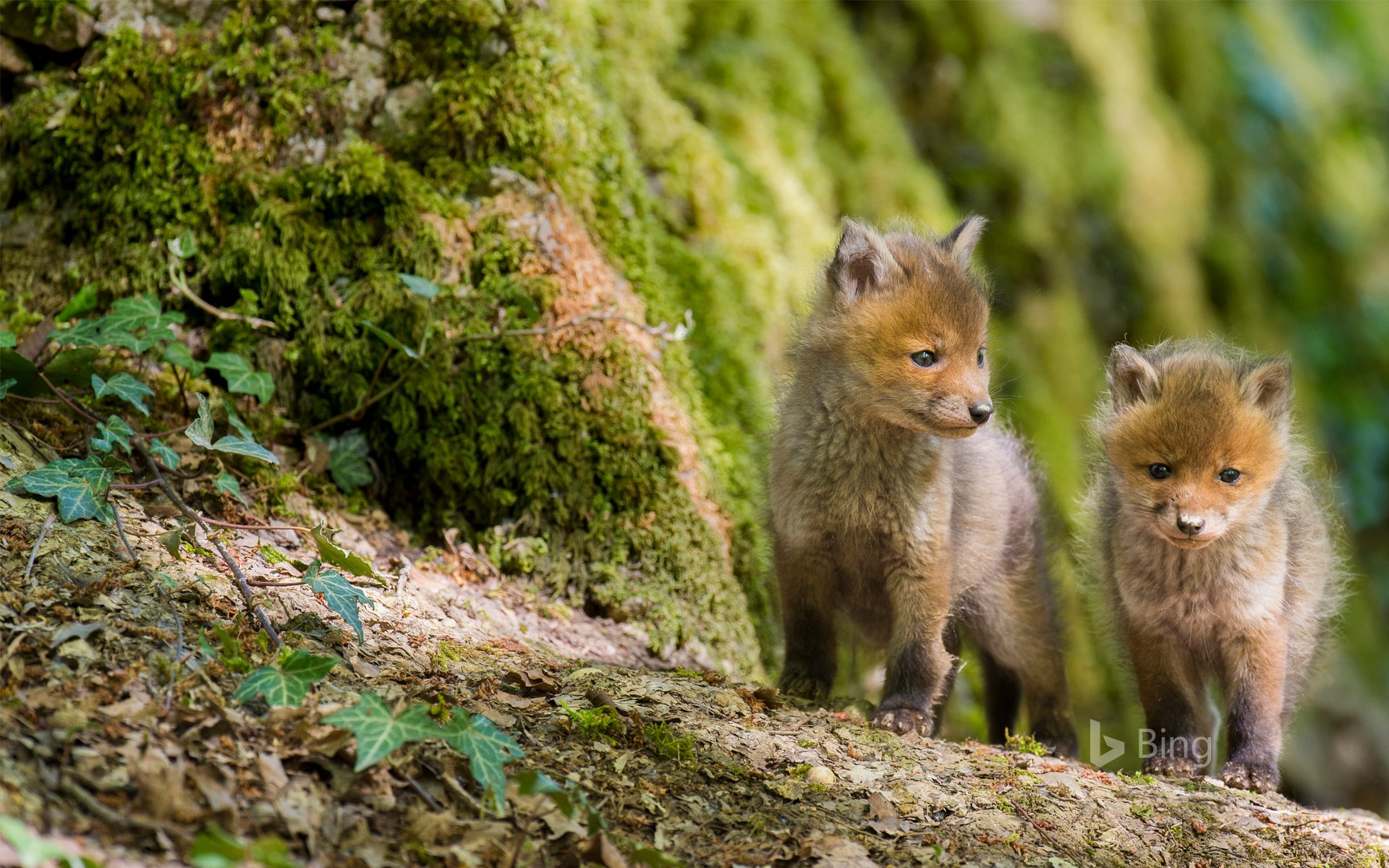 Red foxes, France