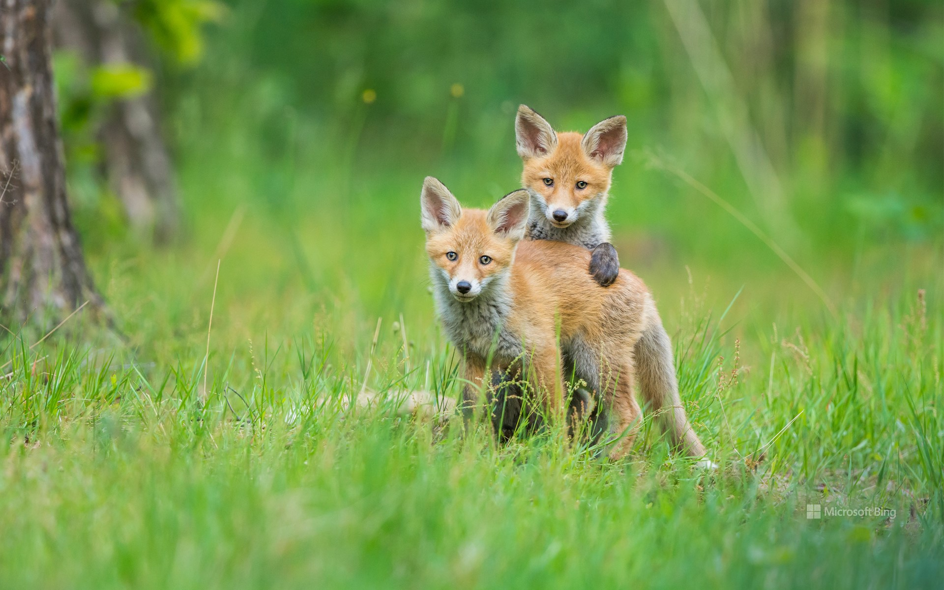 Two young red foxes playing, Germany