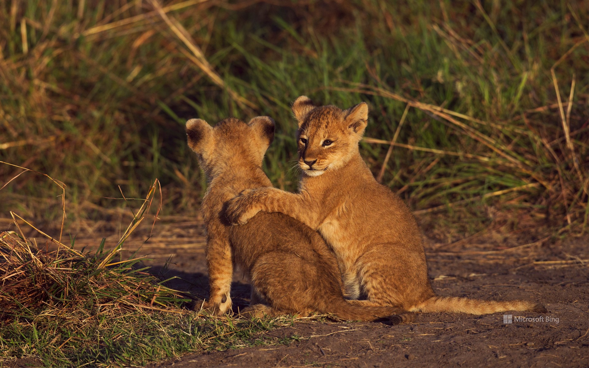 Two lion cubs in the Masai Mara National Reserve in Kenya