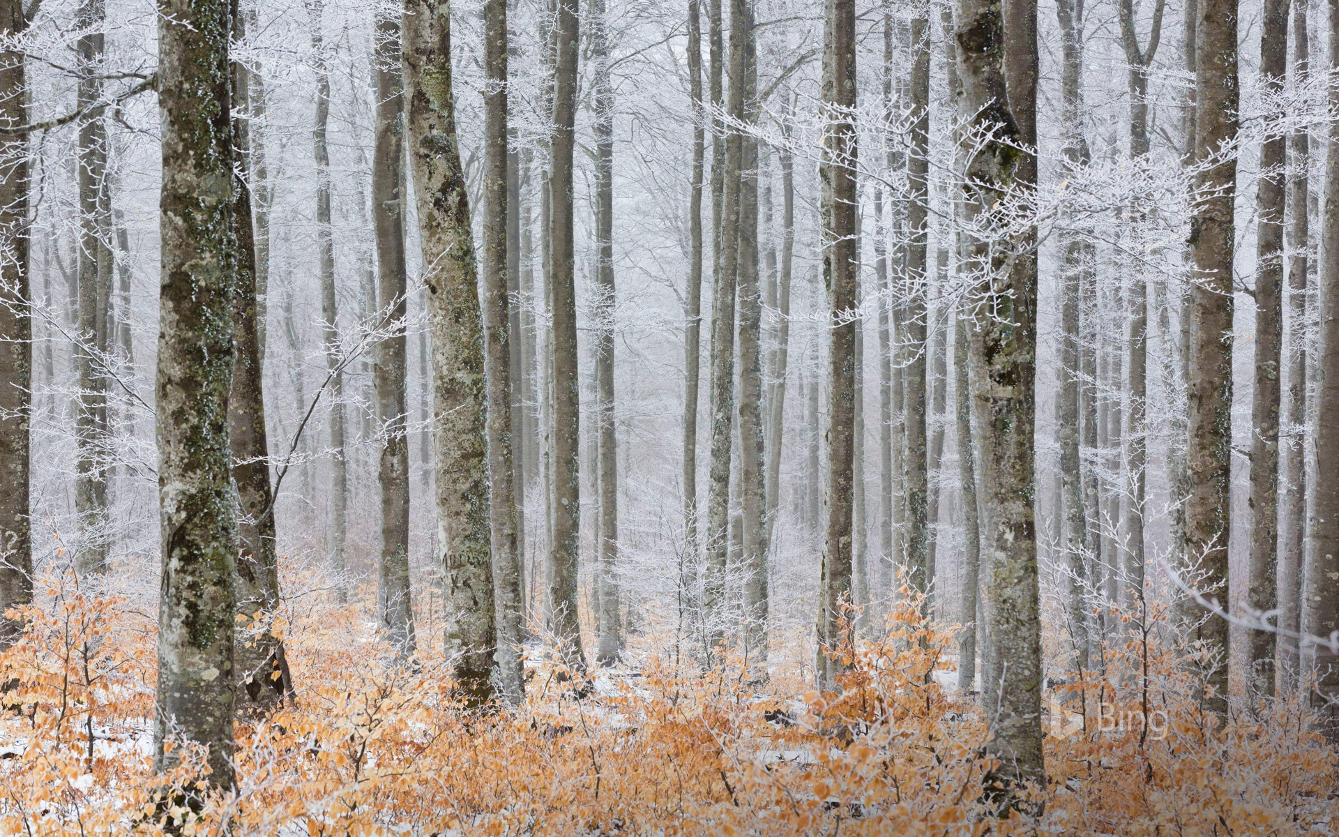 Beech forest in frost, Serreyrède Path, Cévennes National Park, France (© Hemis/Alamy Stock Photo)