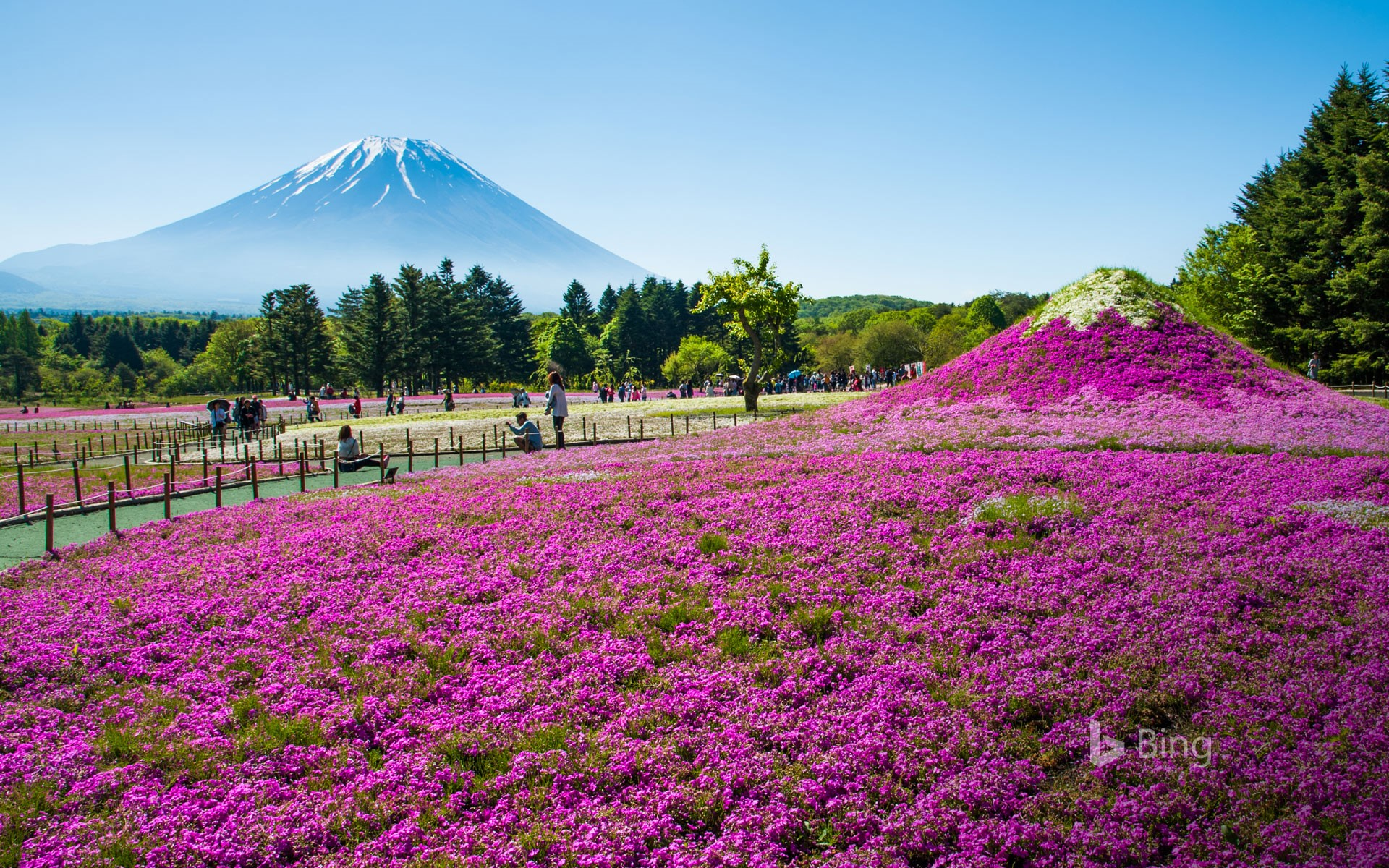 Mount Fuji with meadow of Phlox subulata flowers in Yamanashi, Japan