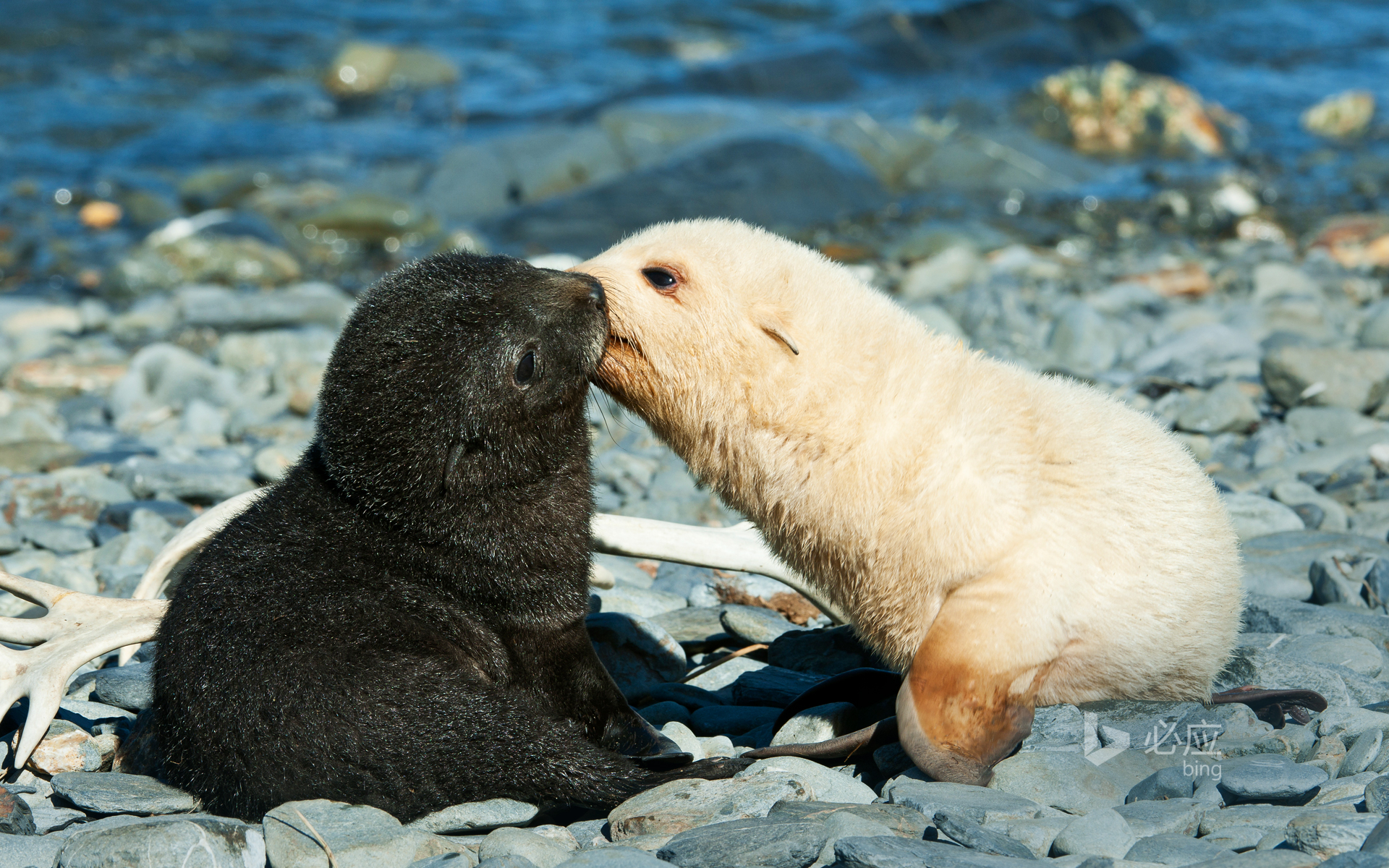 A pair of Antarctic fur seals kissing in Fortuna Bay, South Georgia