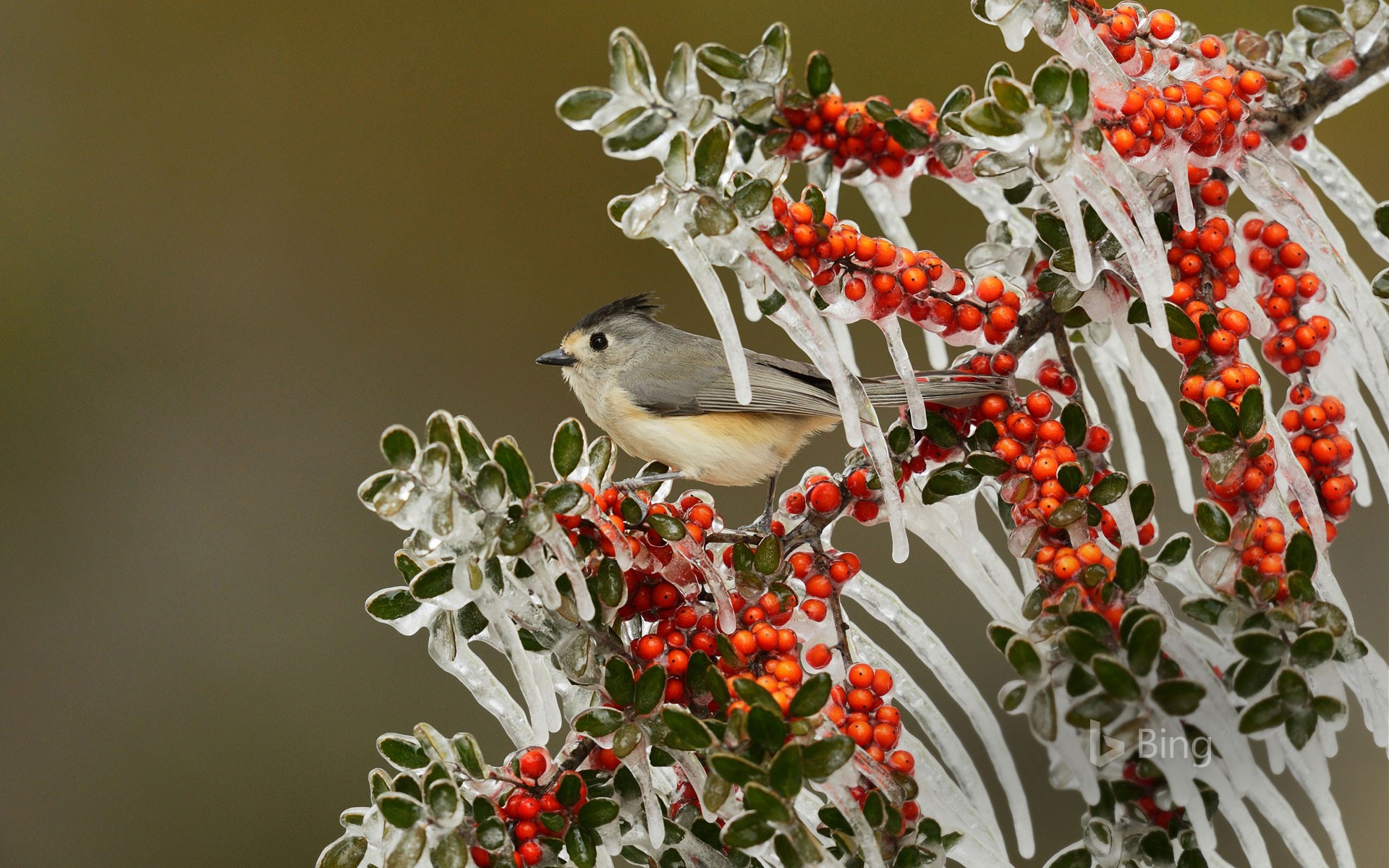 Black-crested titmouse in Texas Hill Country