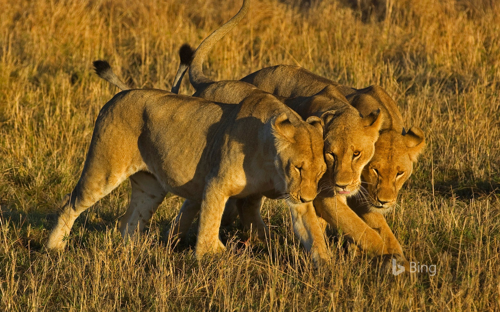 African lionesses in Masai Mara National Reserve, Kenya