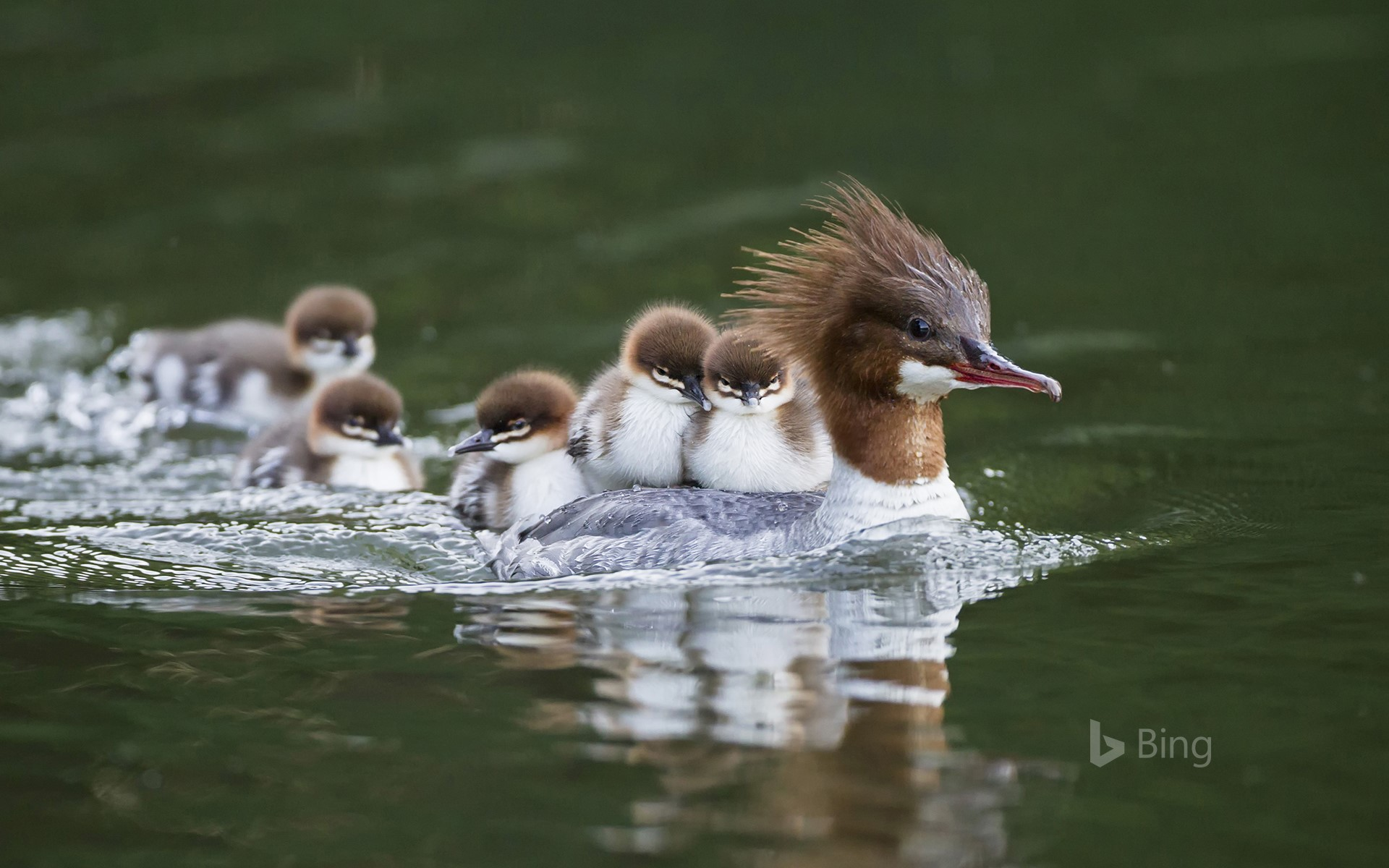 Goosander with chicks on her back, Bavaria, Germany