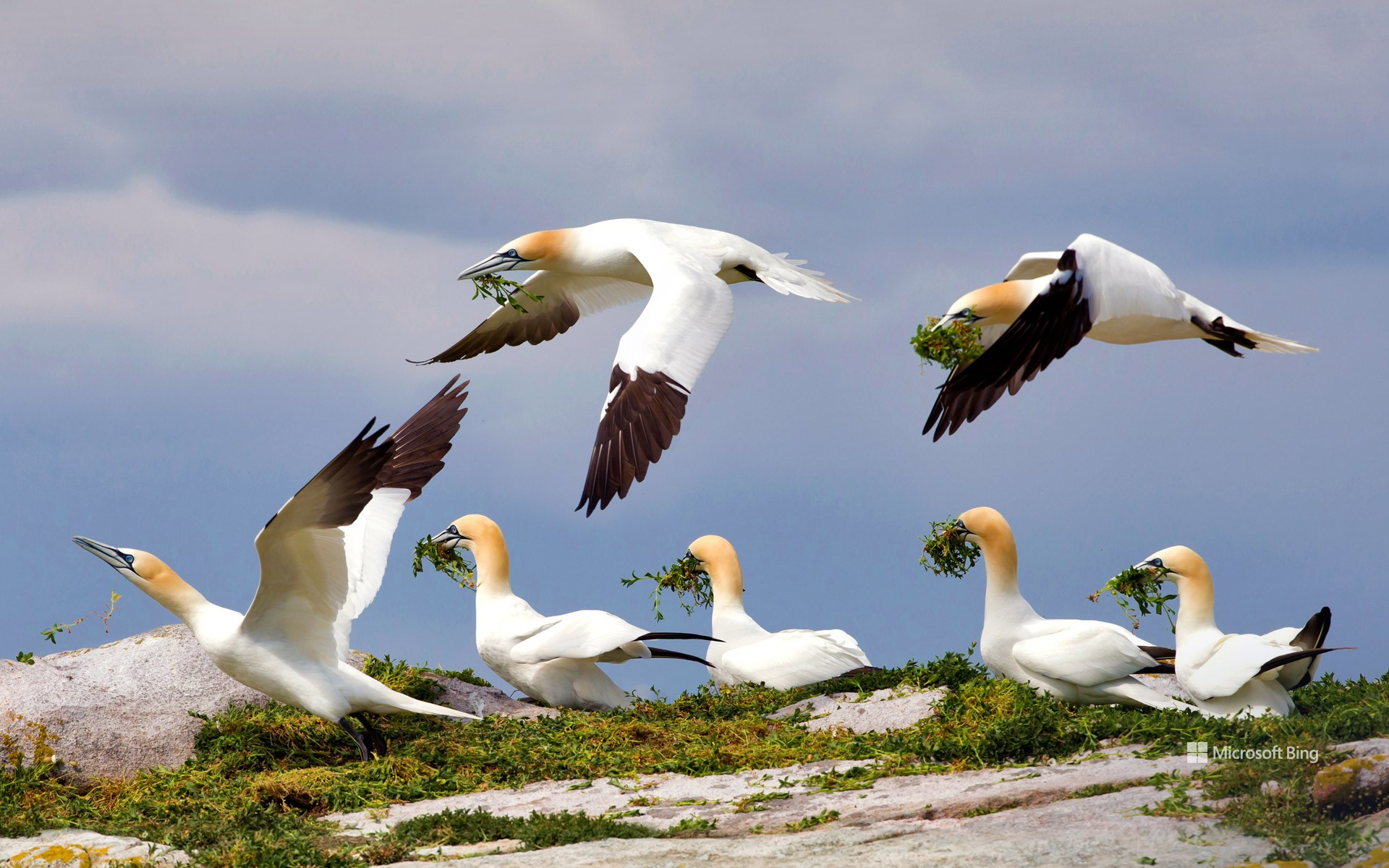 Northern gannets, Great Saltee Island, Ireland