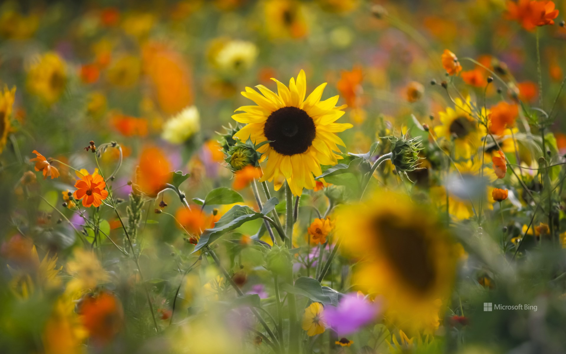 Summer meadow with sunflowers, Germany