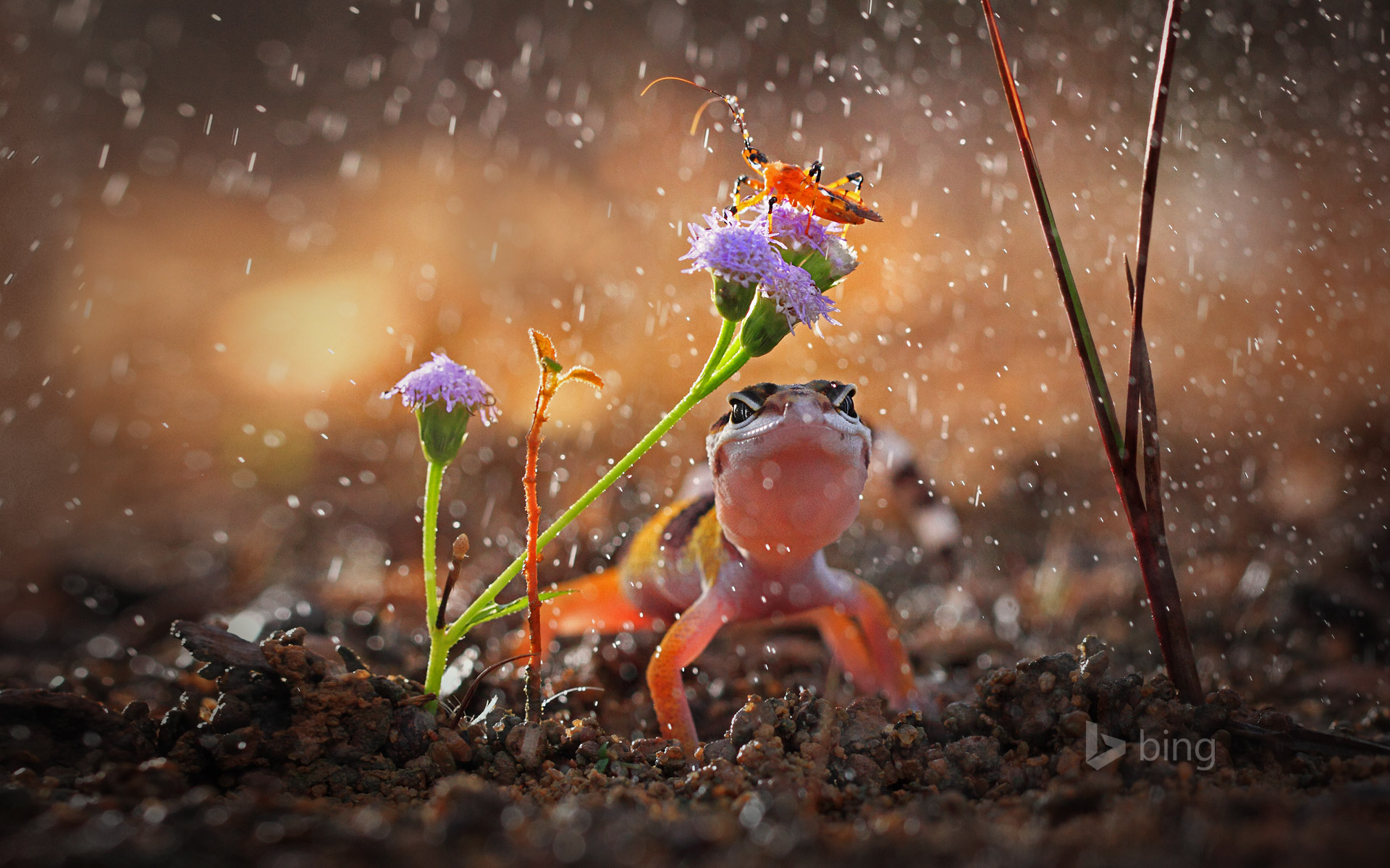 Gecko and insect on rainy day, Indonesia