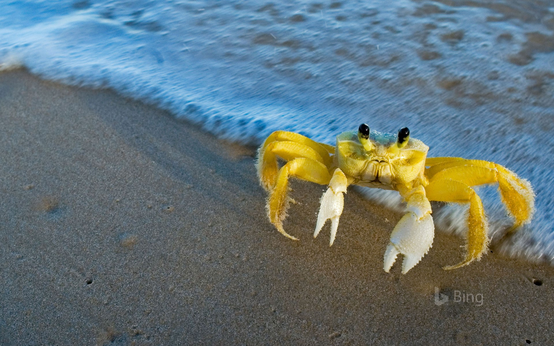 Atlantic ghost crab (© Luciano Candisani/Minden Pictures)