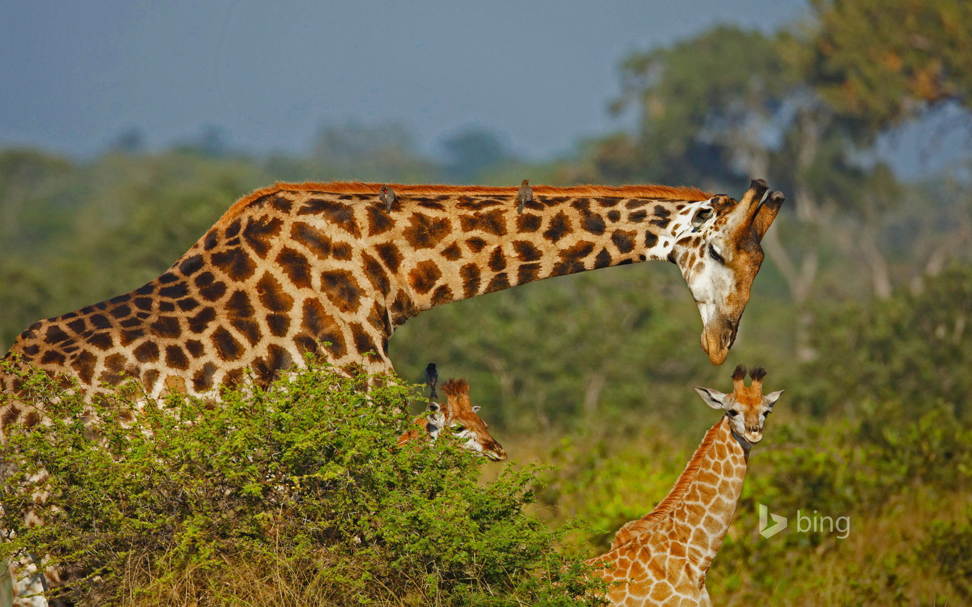 Male giraffe and two calves