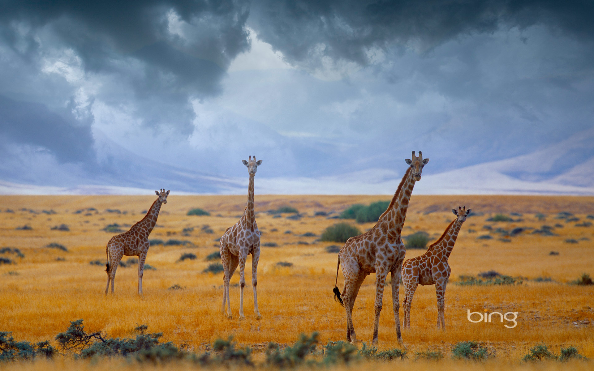 Small herd of giraffes, Namibia